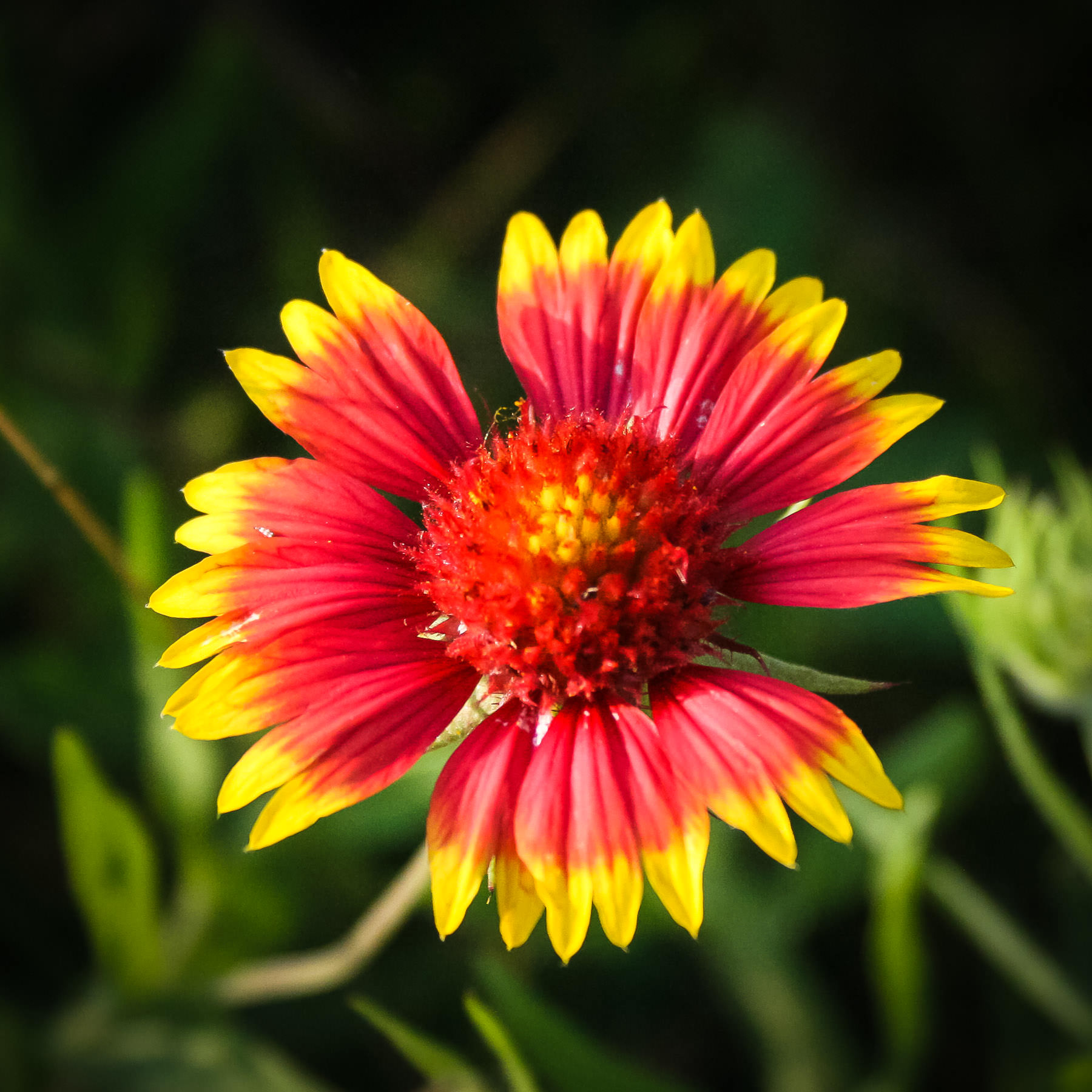 An Indian Blanket, or Gaillardia pulchella, found along the shore of Dallas' White Rock Lake.