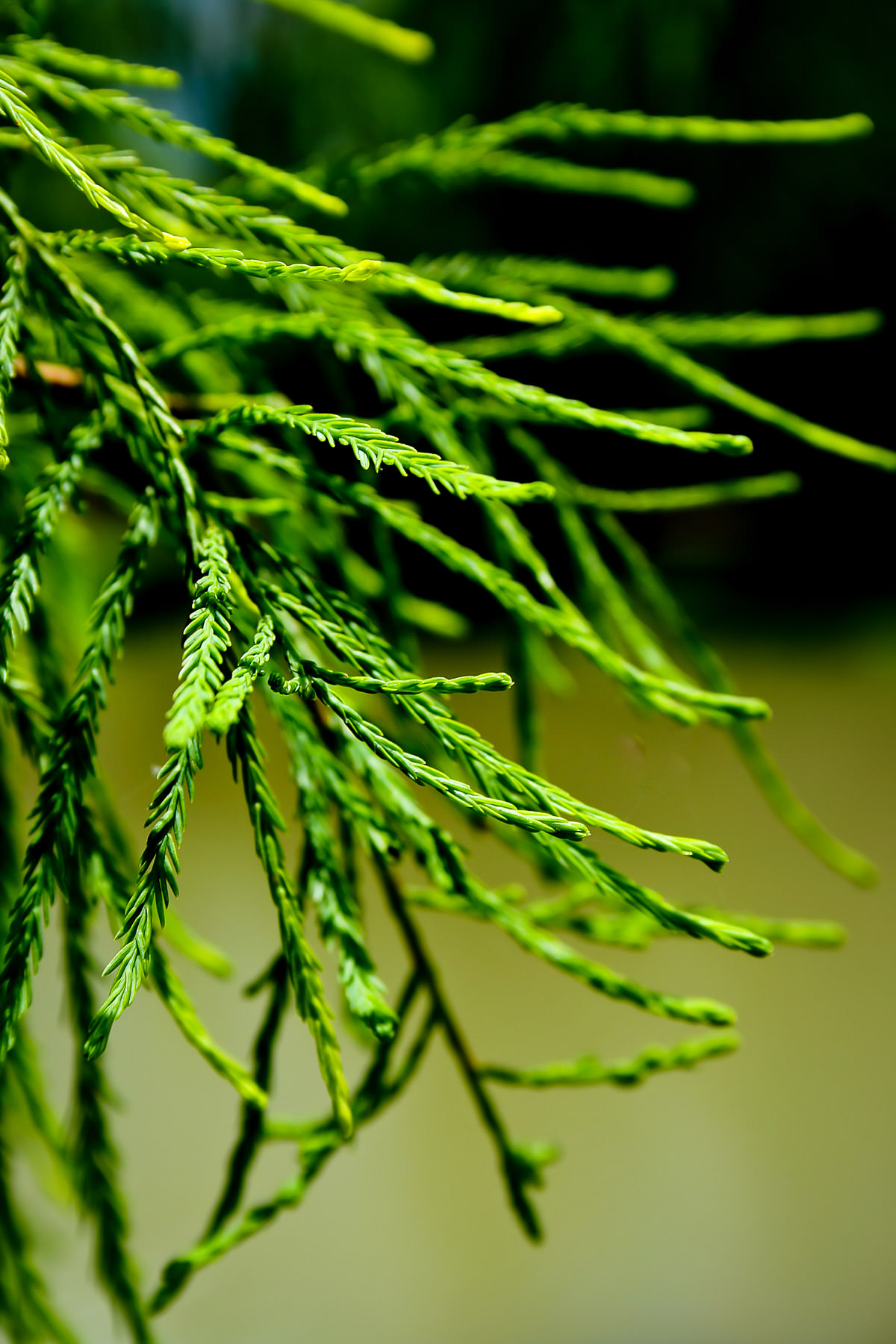 The leaves of a cypress tree, somewhere in Frisco, Texas.
