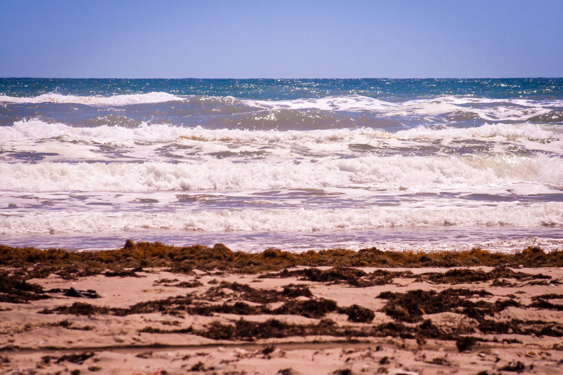 Sargassum, washed ashore annually during April and May, dries on the beach at South Padre Island, Texas.