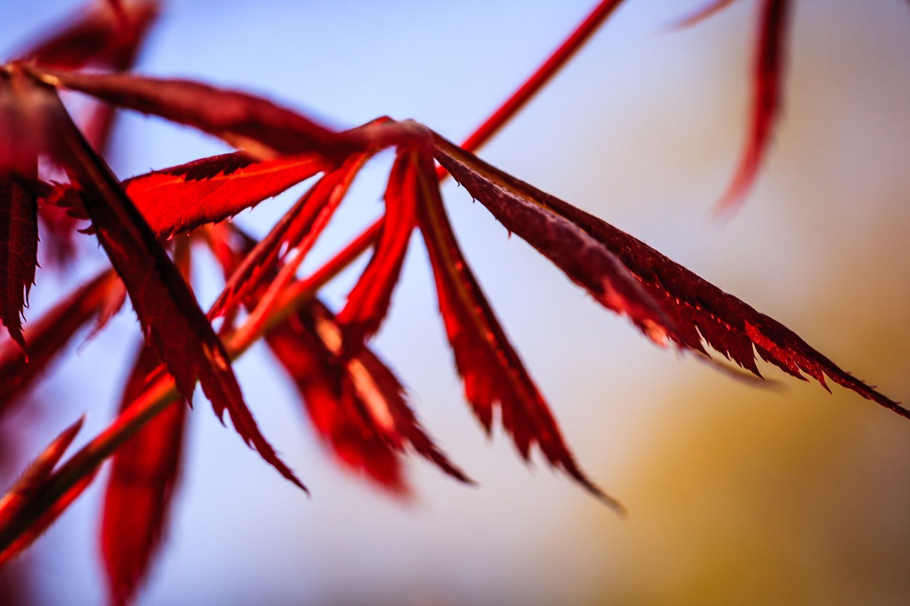 Japanese maple tree leaves at my mother's house, Tyler, Texas.