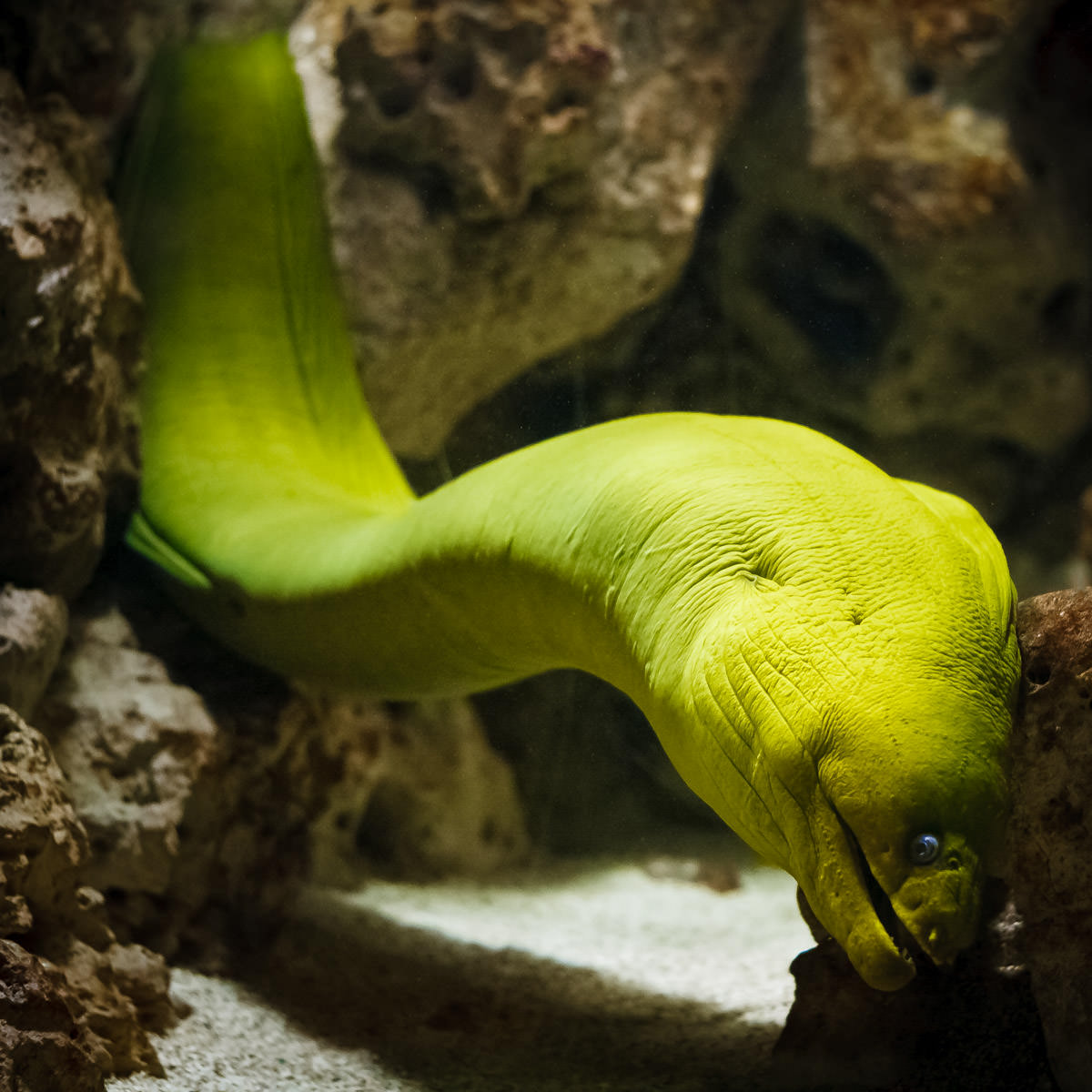 The creepy stare of a green moray eel at the Dallas Aquarium in Fair Park.