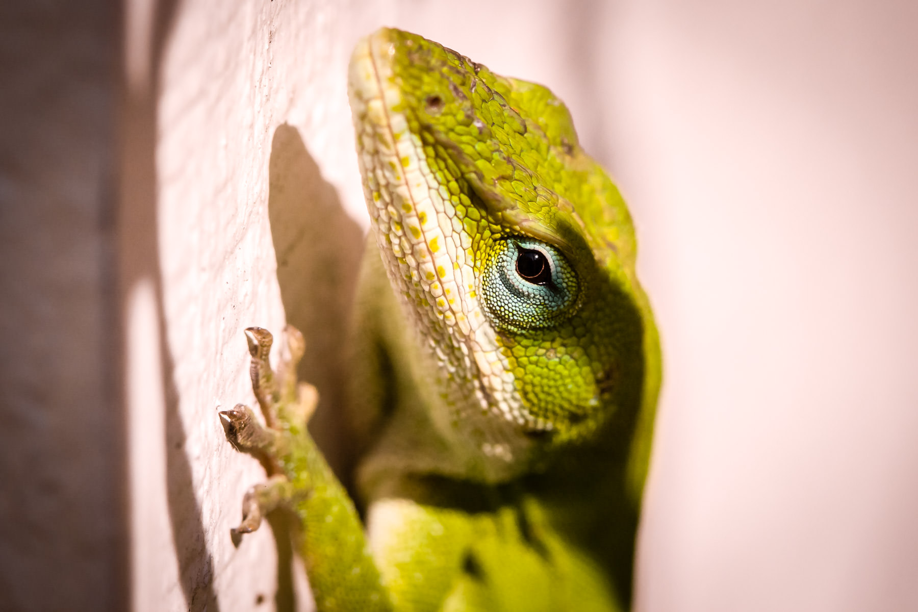 A green anole, spotted in Tyler, Texas.