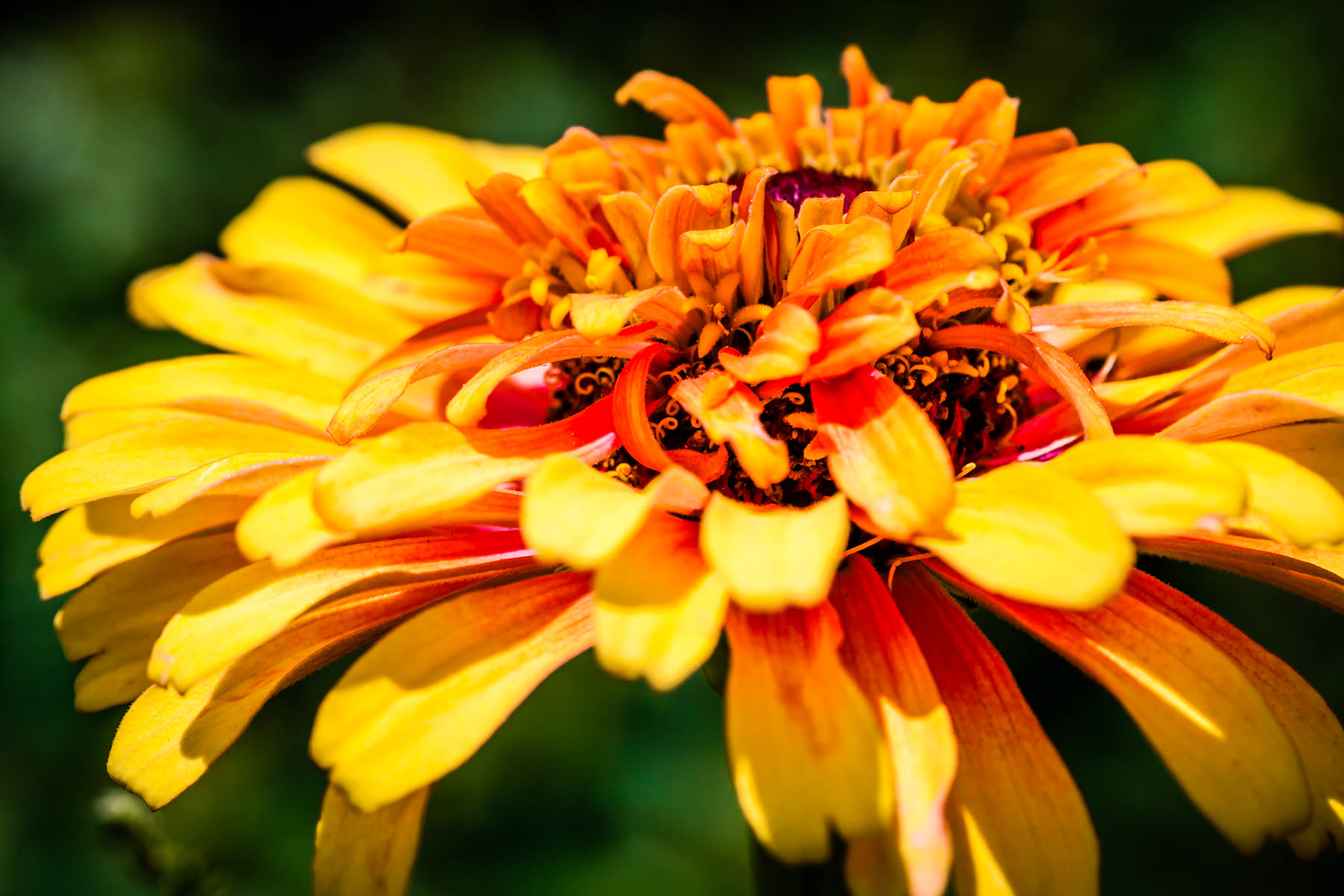 This yellow, orange and red flower was shot at the Holistic Garden at Texas A&M University in College Station, Texas.
