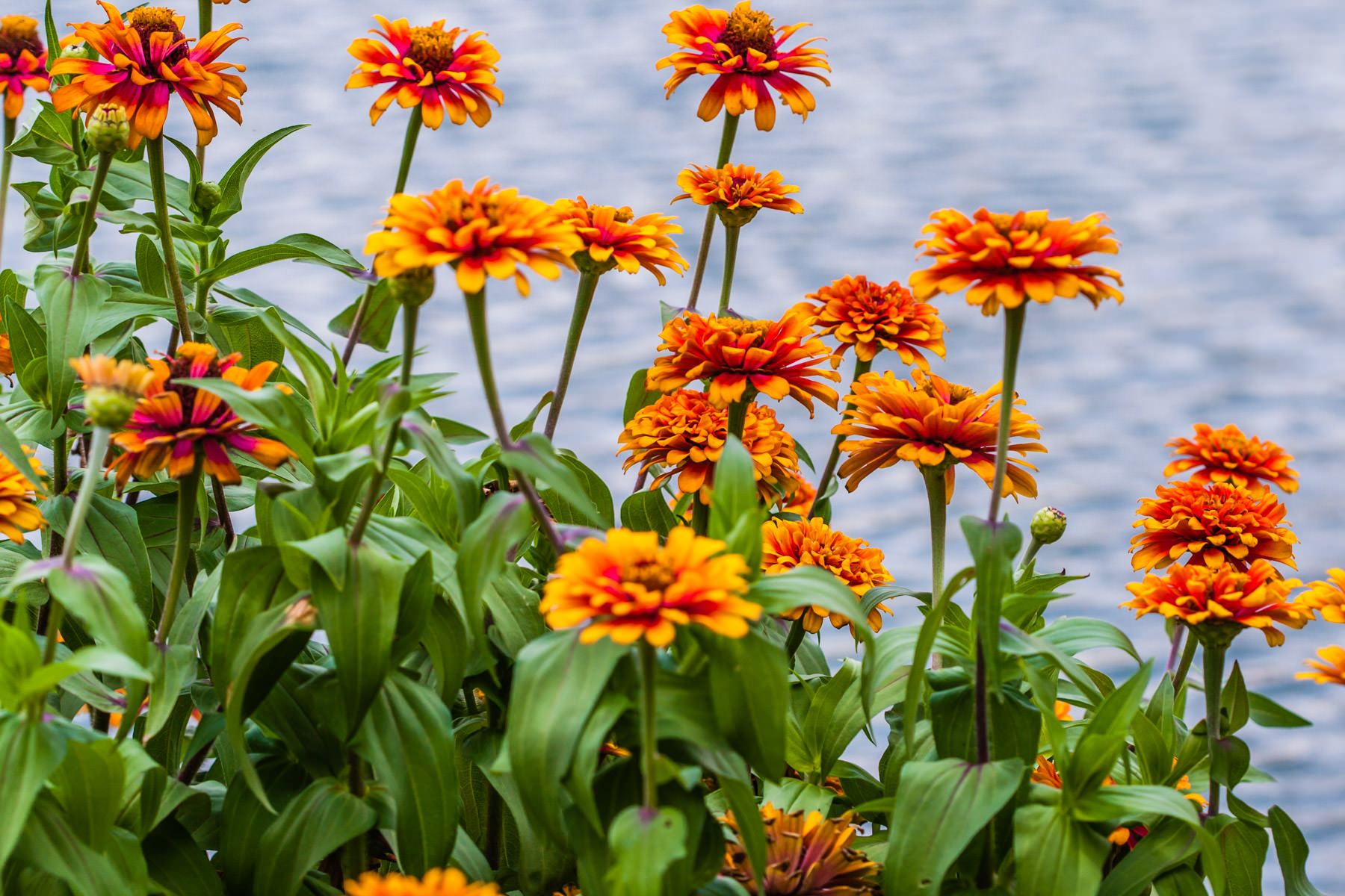 These orange flowers were next to the pond in the park behind the George Bush Presidential Library in College Station, Texas.