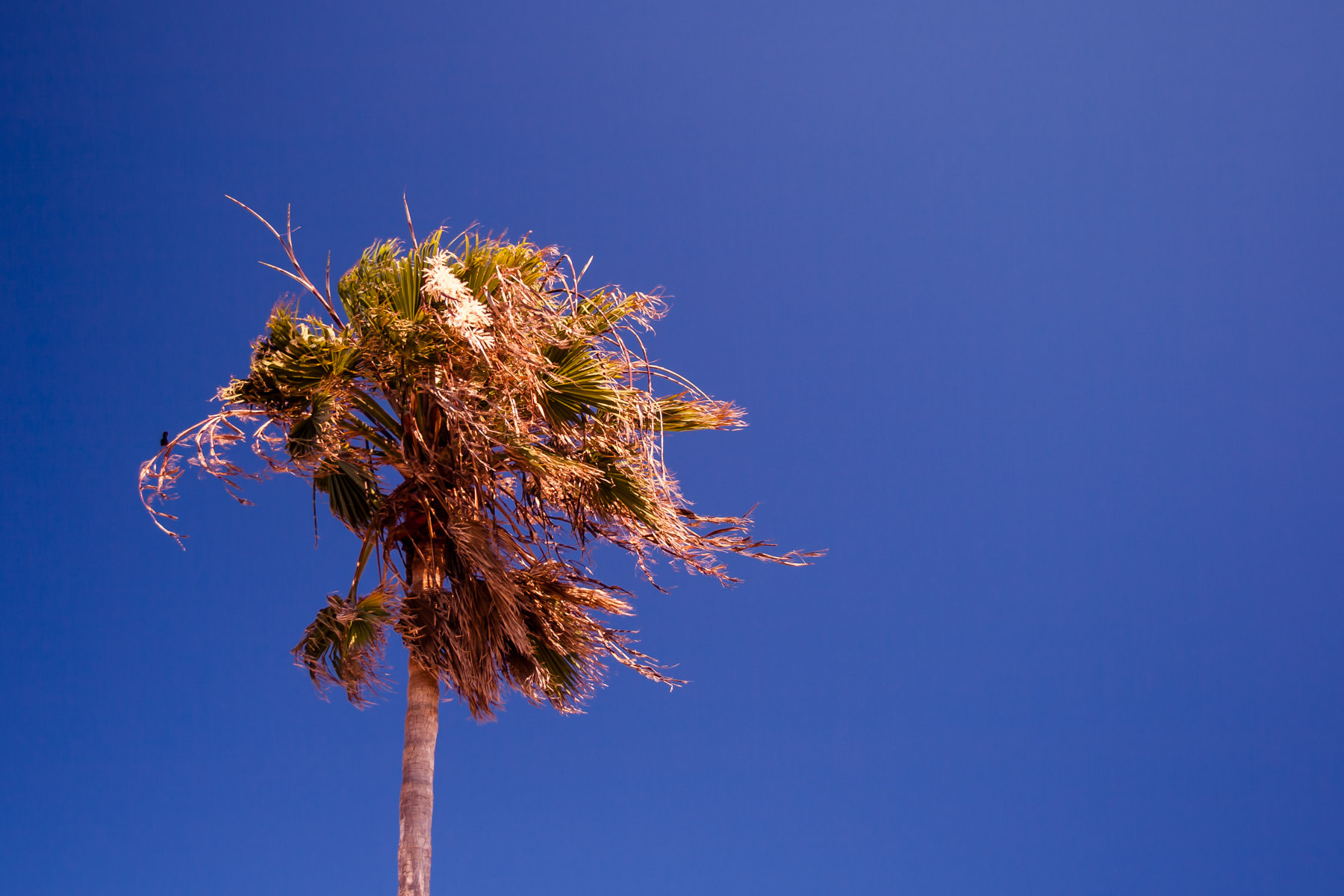 A lone, windswept palm tree in South Padre Island, Texas.