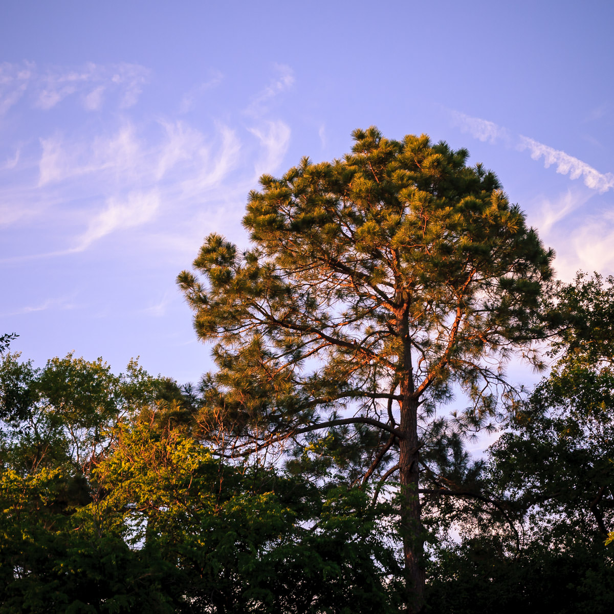 Trees in Tyler, Texas catch early evening sun rays.