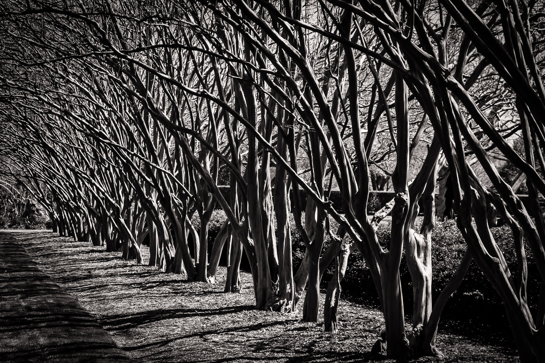 A row of trees at the Dallas Arboretum.