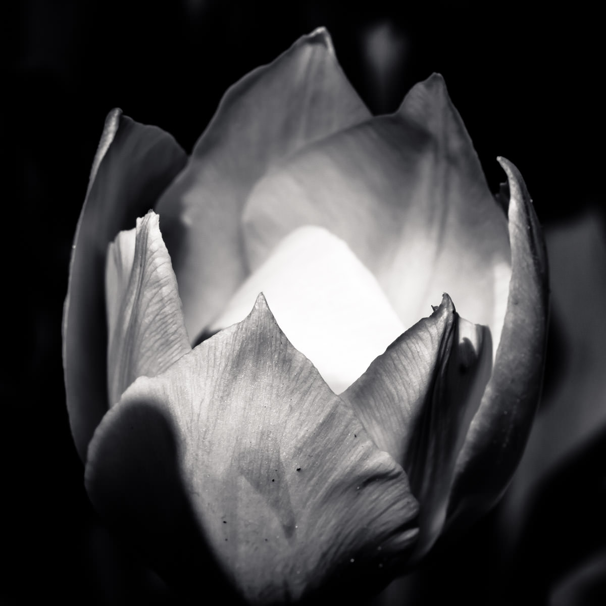 The inside of a tulip catches the sunlight at the Dallas Arboretum.