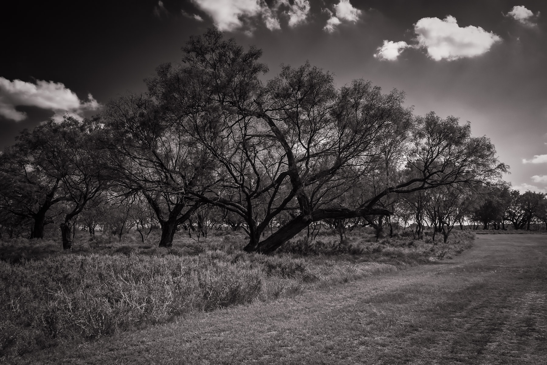 Trees in a field somewhere west of Fort Worth, Texas.