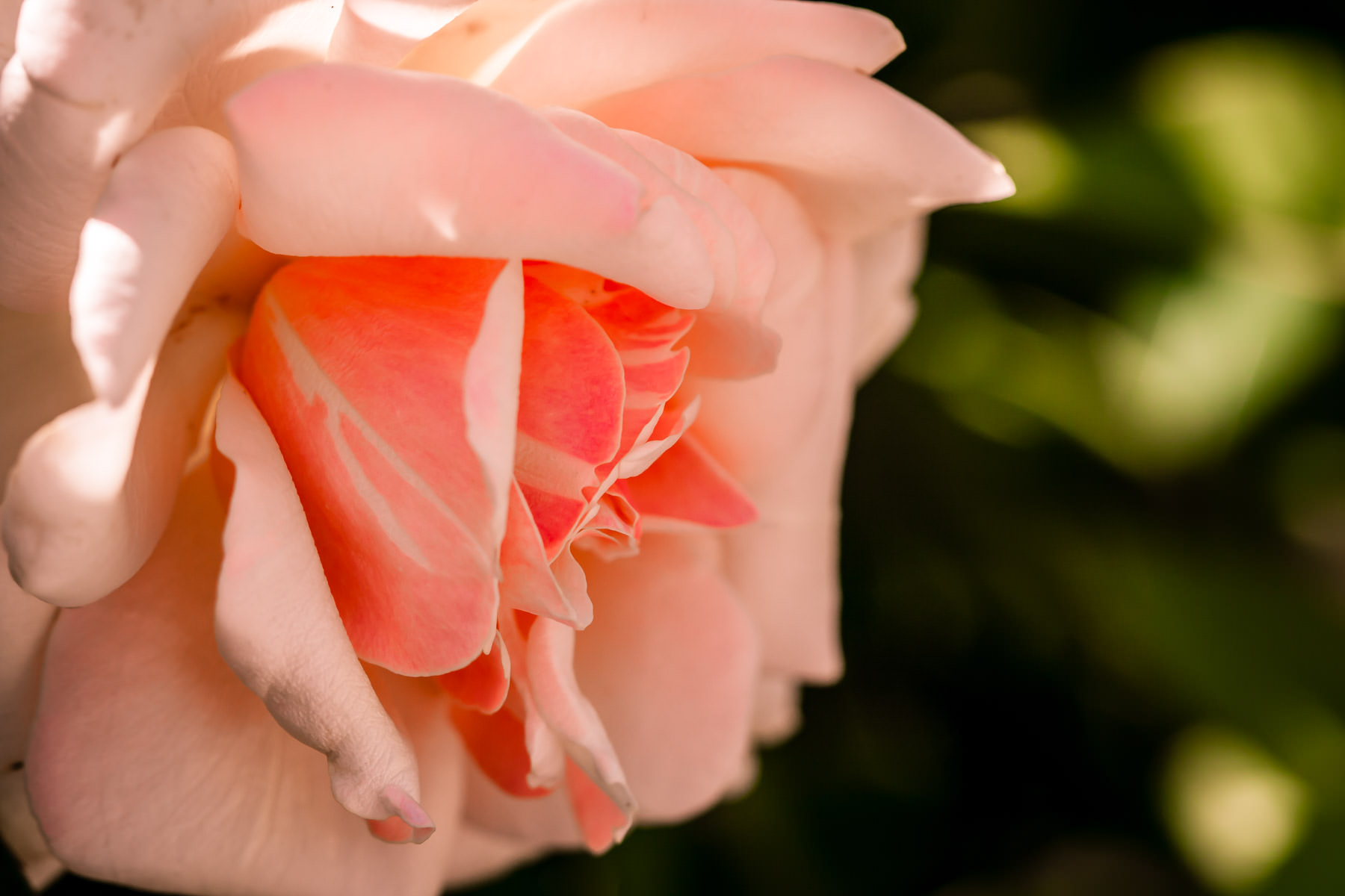 A pink and white rose At the Fort Worth Botanic Gardens, Texas.