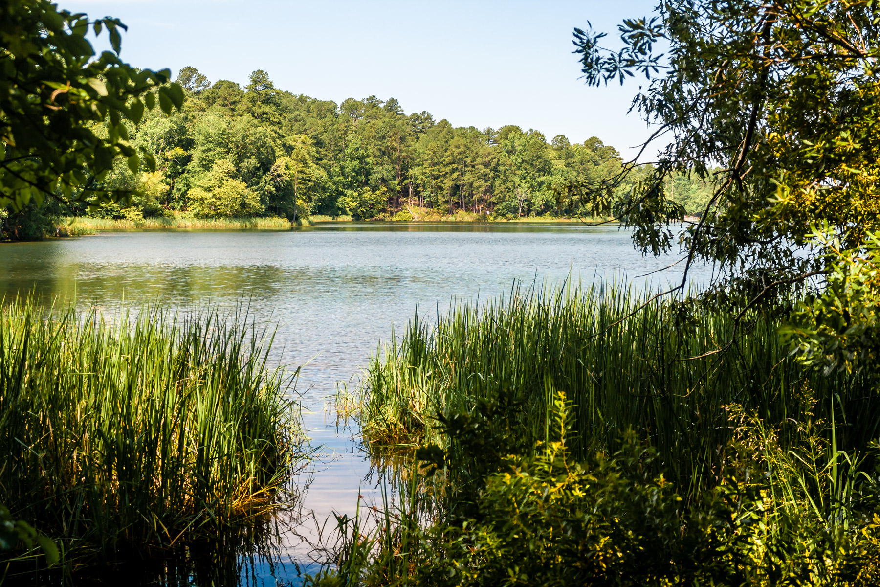 Reeds and trees encroach upon the lake at Tyler State Park, Texas.