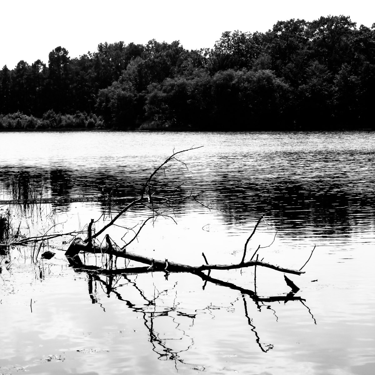 A tree branch pokes out of the lake at Tyler State Park, Texas.