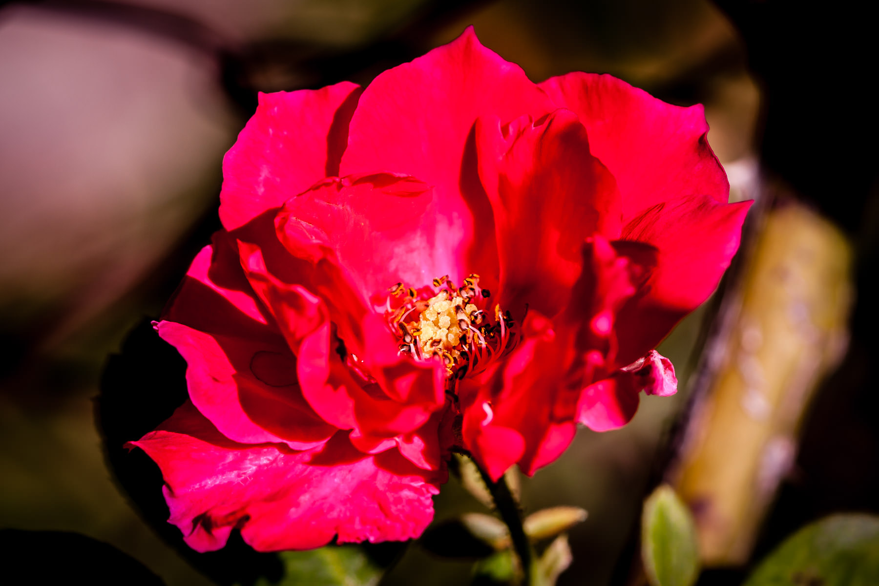 A red flower in Tyler, Texas.