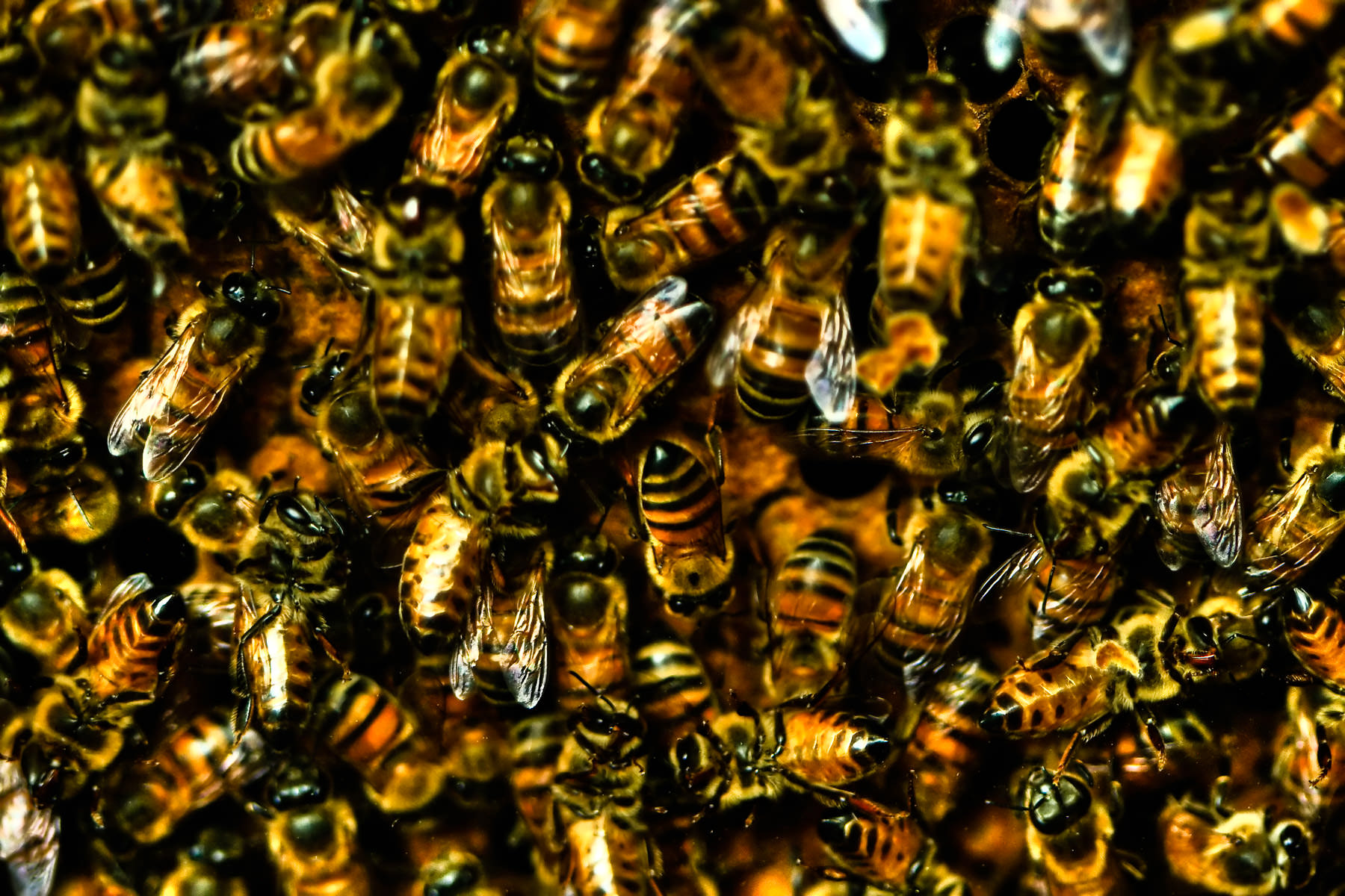 Bees in a hive at Houston's Cockrell Butterfly Center.