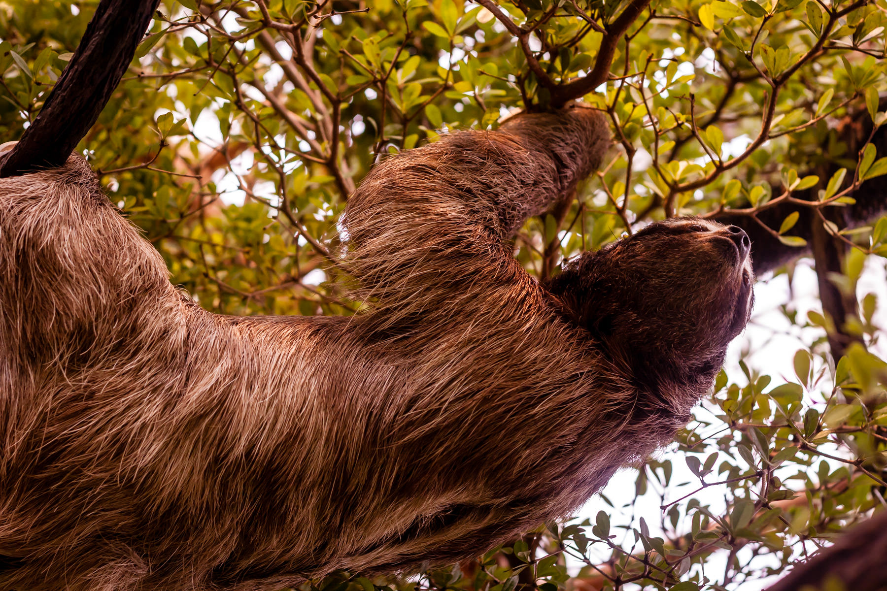 A three-toed sloth at the Dallas World Aquarium climbs though a tree's branches.