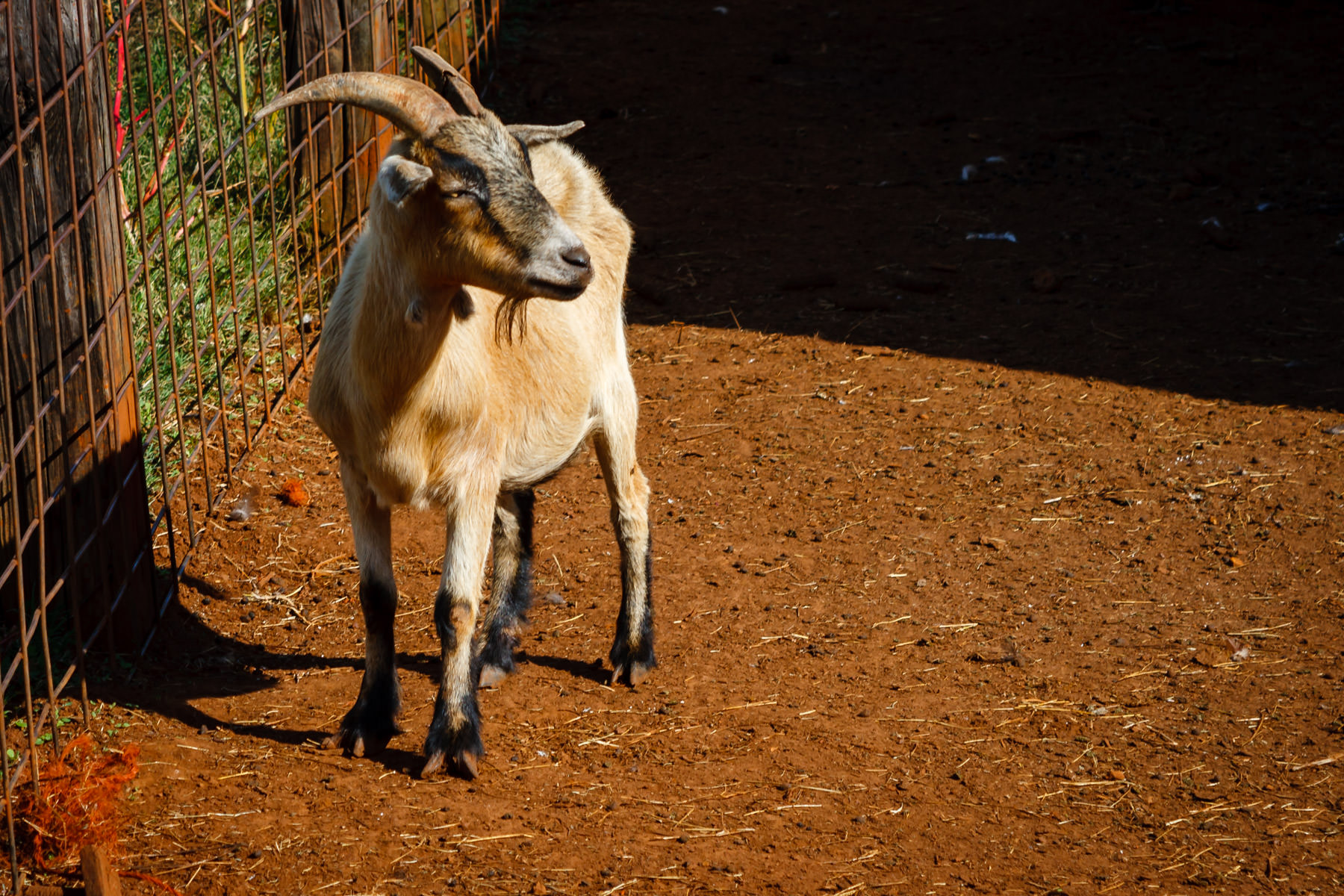 A goat found at Moore Farms, Bullard, Texas.