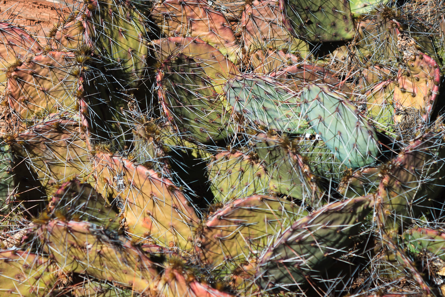 Prickly pear cactus at Copper Breaks State Park, Texas.