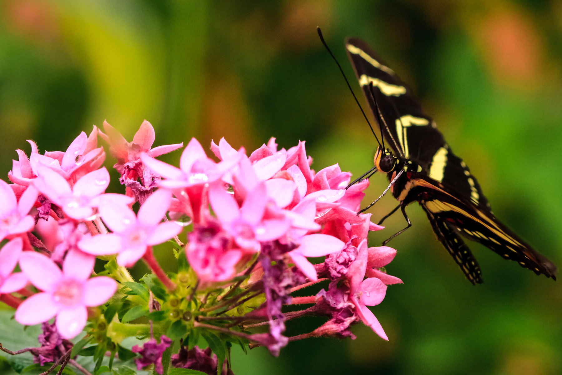 A butterfly lands on pink flowers at Dallas' Rosine Smith Sammons Butterfly House at the Texas Discovery Gardens, Fair Park.