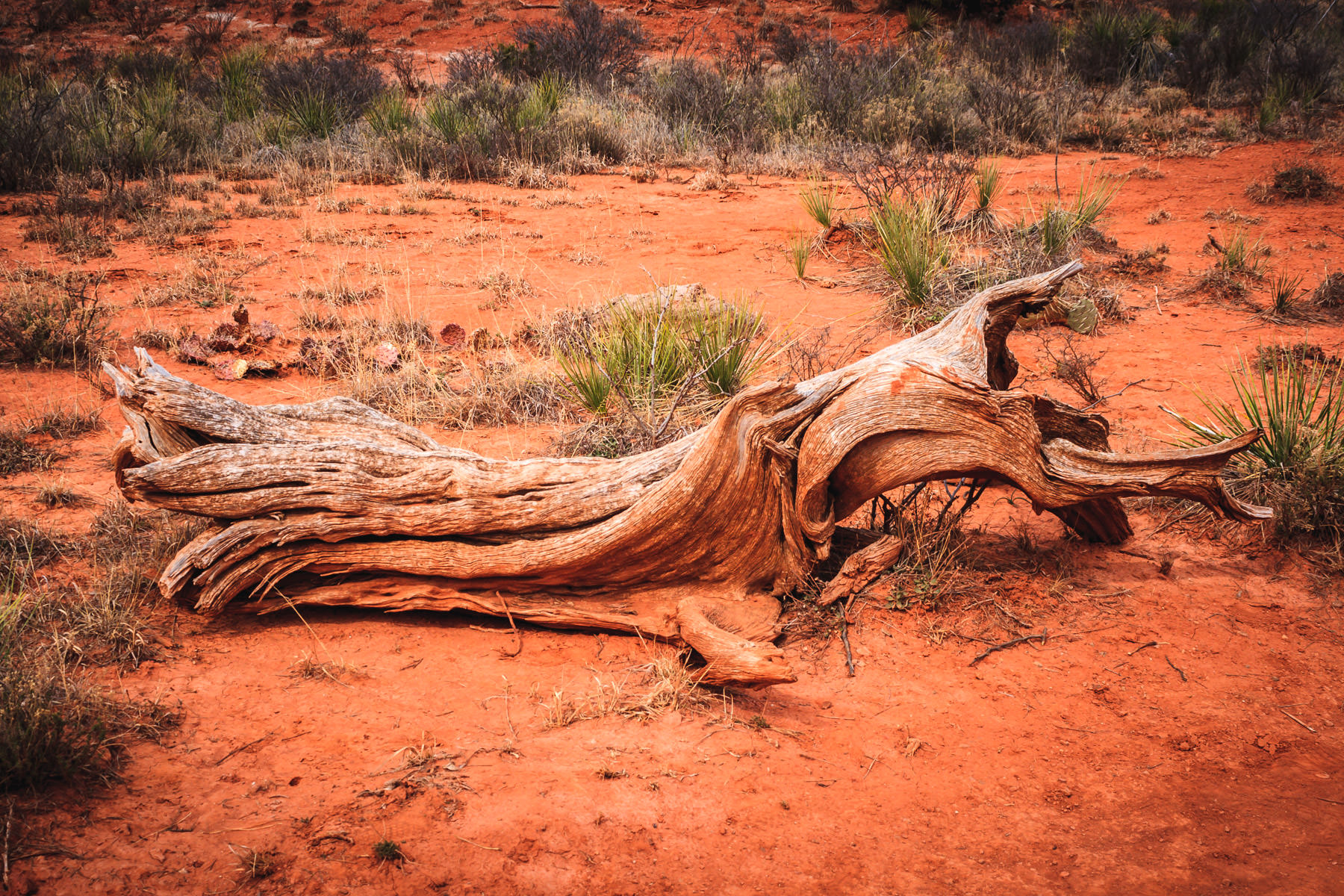 The dried and twisted remains of a tree lying at the bottom of Palo Duro Canyon, Texas.