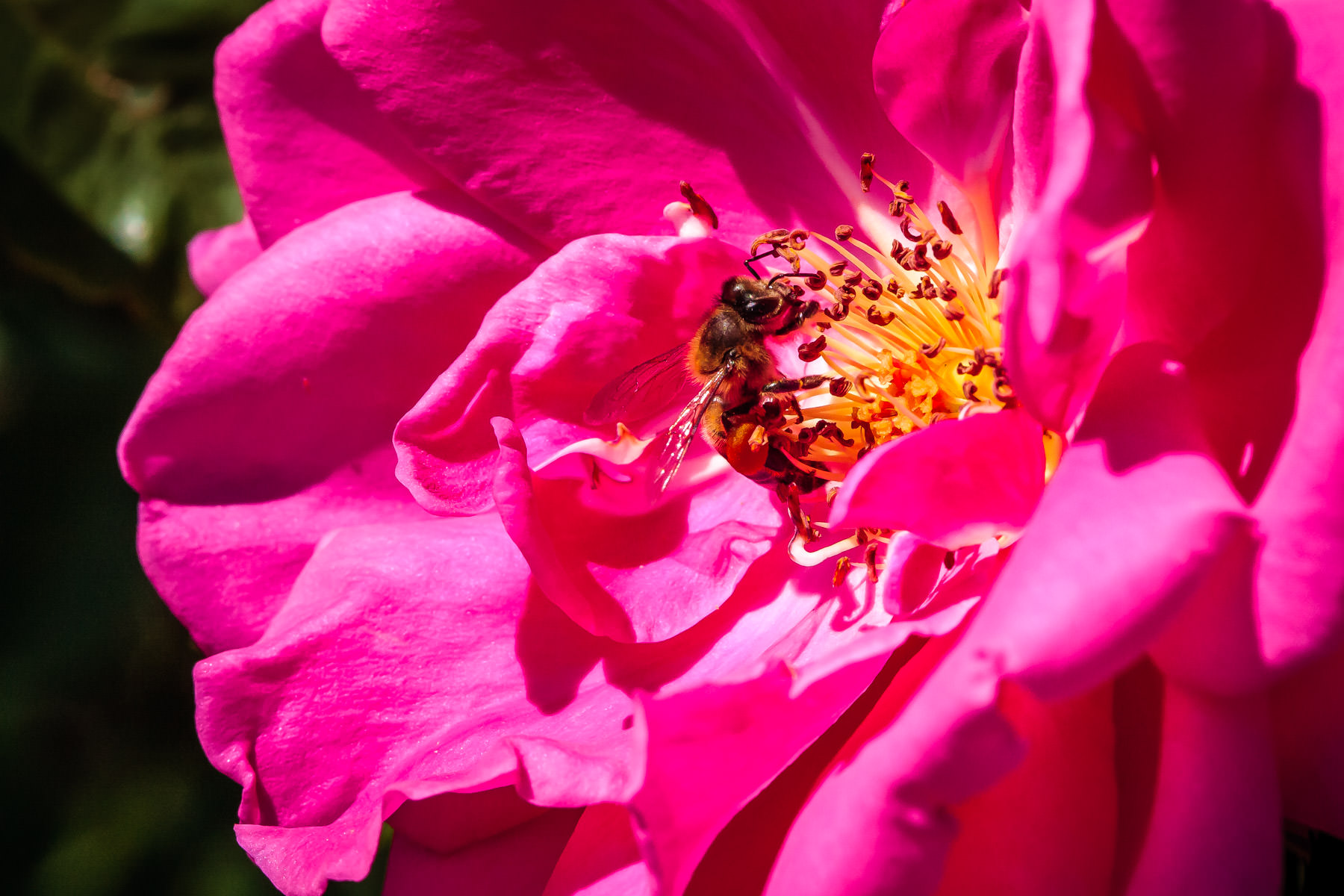 A bee in a flower at the Fort Worth Botanic Gardens.