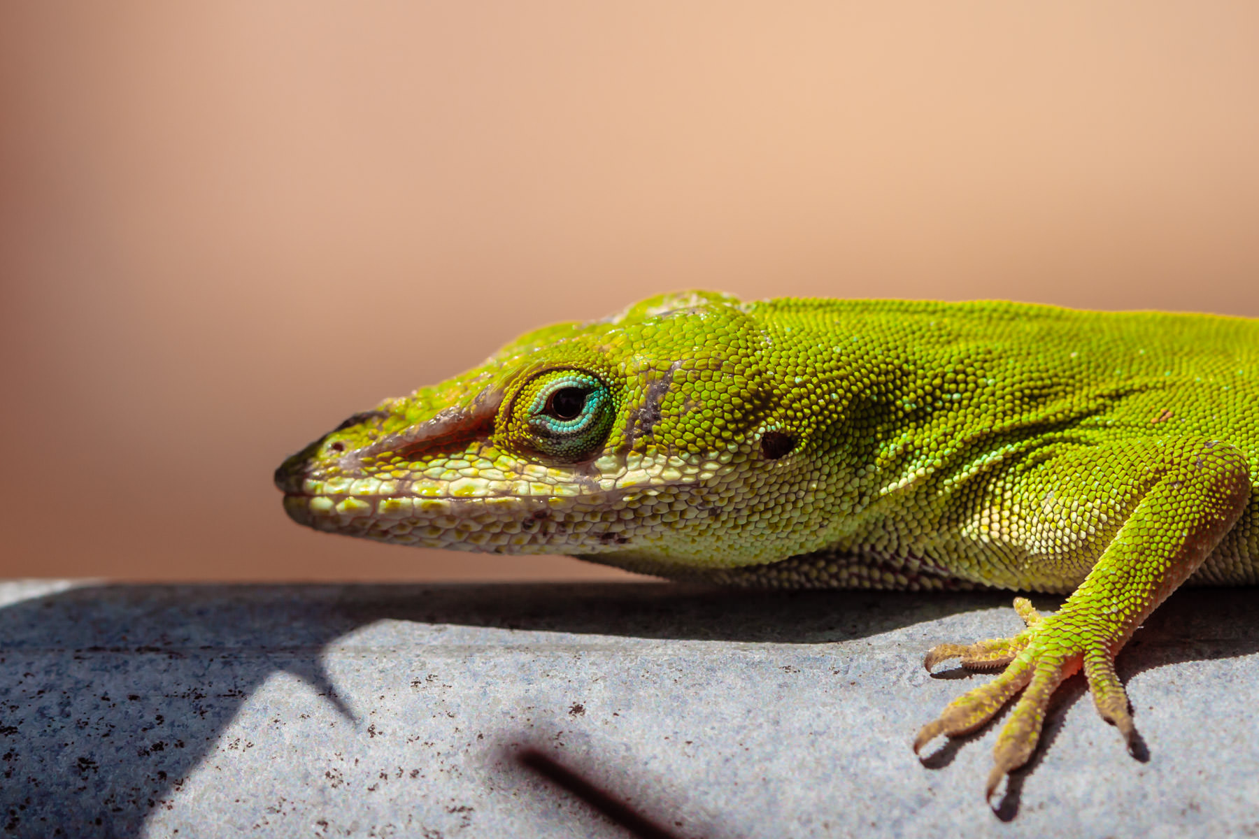A green anole somewhere in Tyler, Texas.