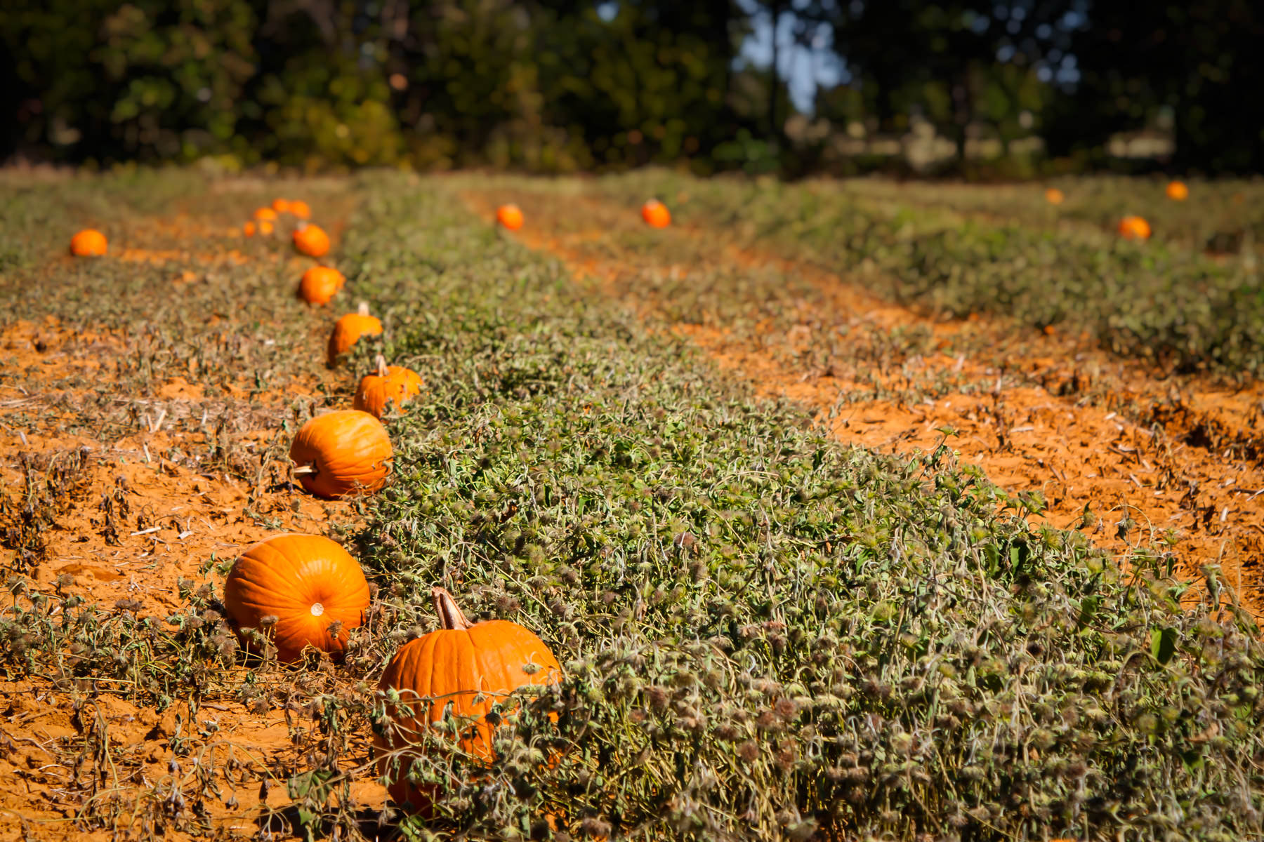 A seasonal pumpkin patch at Moore Farms, Bullard, Texas.