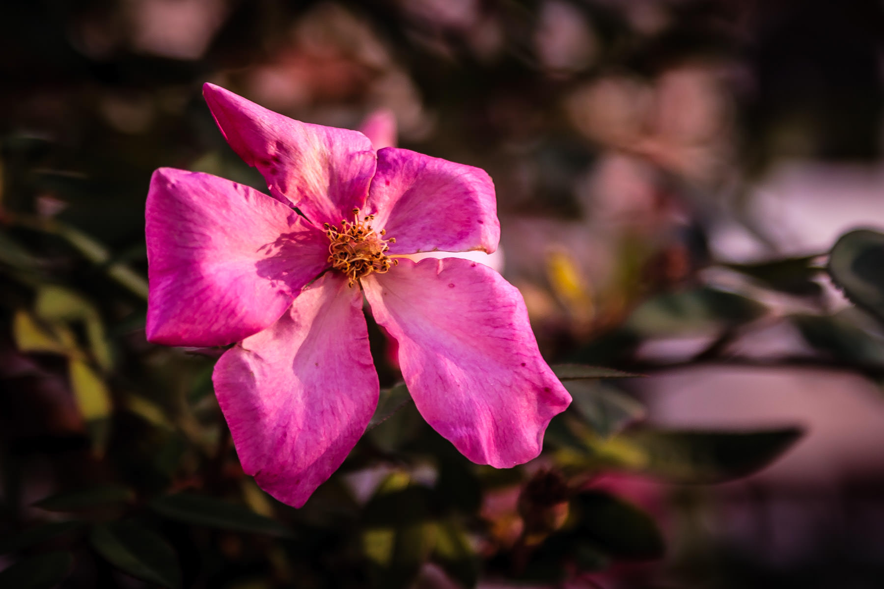 A pink flower spotted in Nacogdoches, Texas.