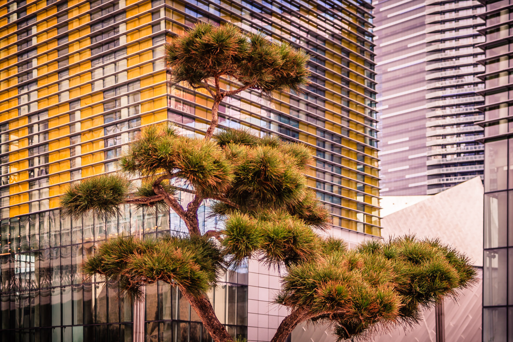 A lone evergreen in front of Las Vegas' Veer Towers at CityCenter.
