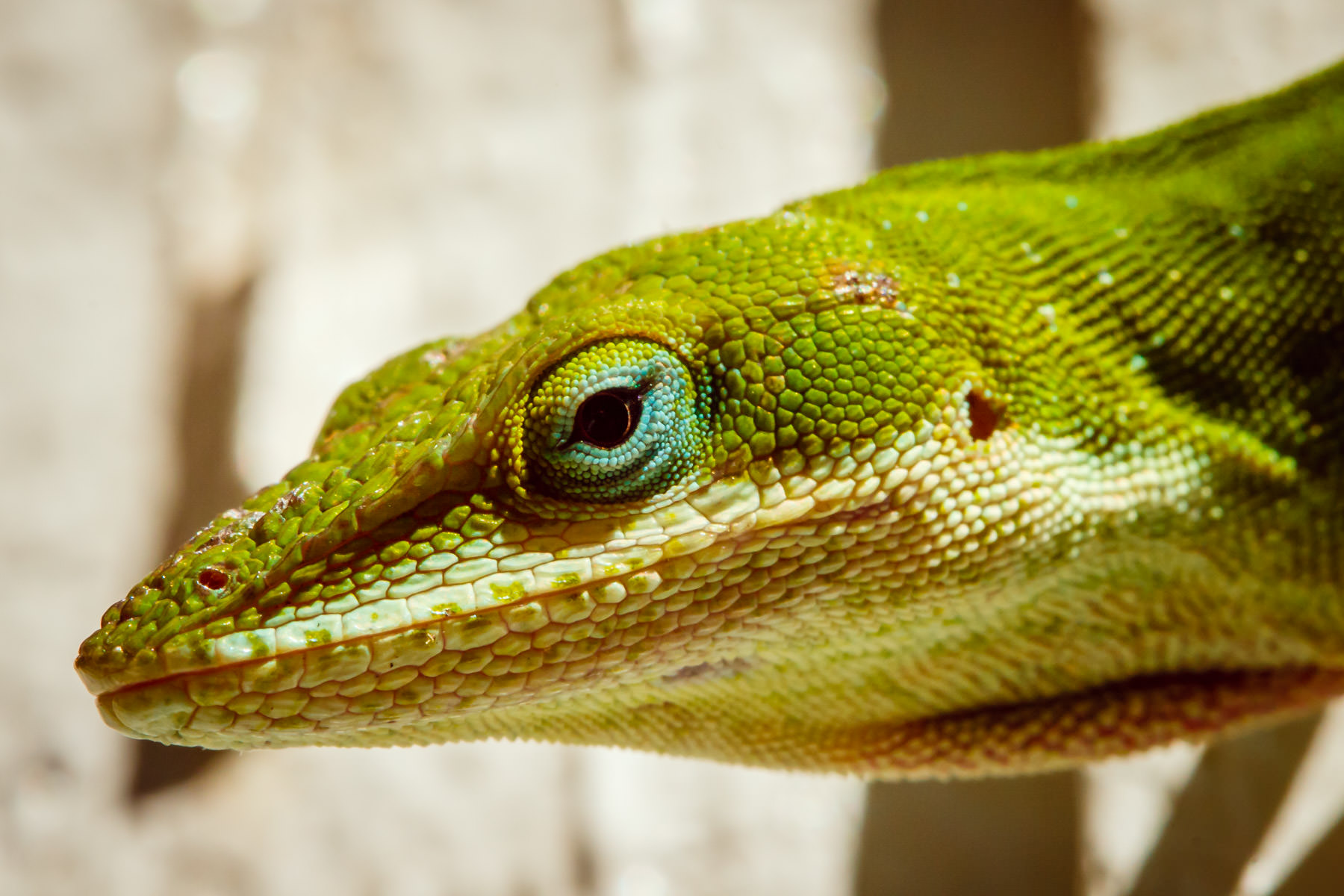 An inquisitive green anole eyes my camera.