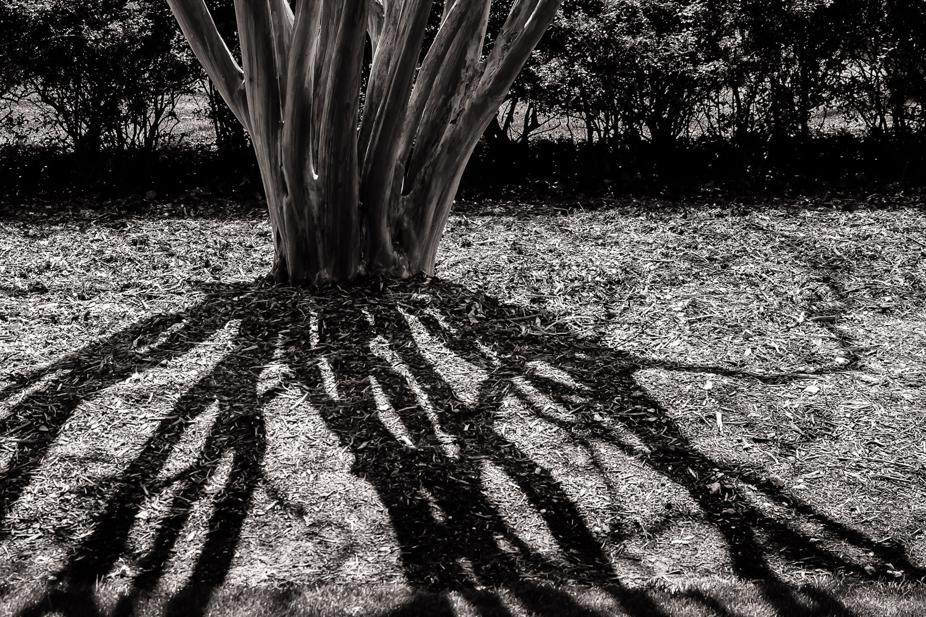 The shadows of a tree's branches resemble the tentacles of an octopus or a horror imagined by H.P. Lovecraft at the Dallas Arboretum.