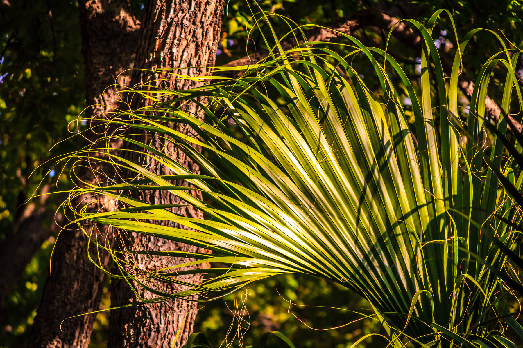 A palm frond catches the afternoon light at Addison, Texas' Bosque Park.