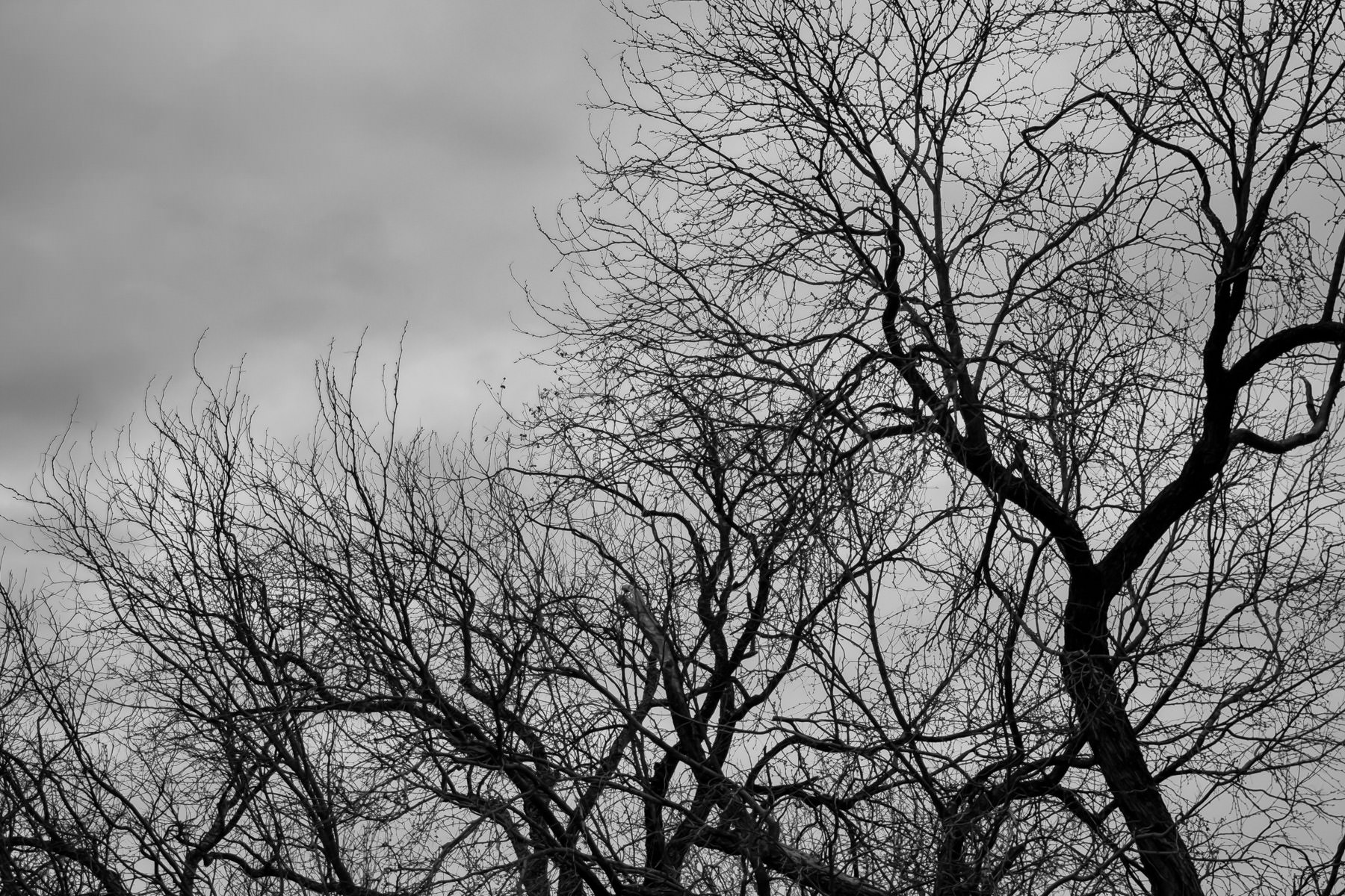 Intricate tree branches on on overcast day at Fair Park, Dallas.