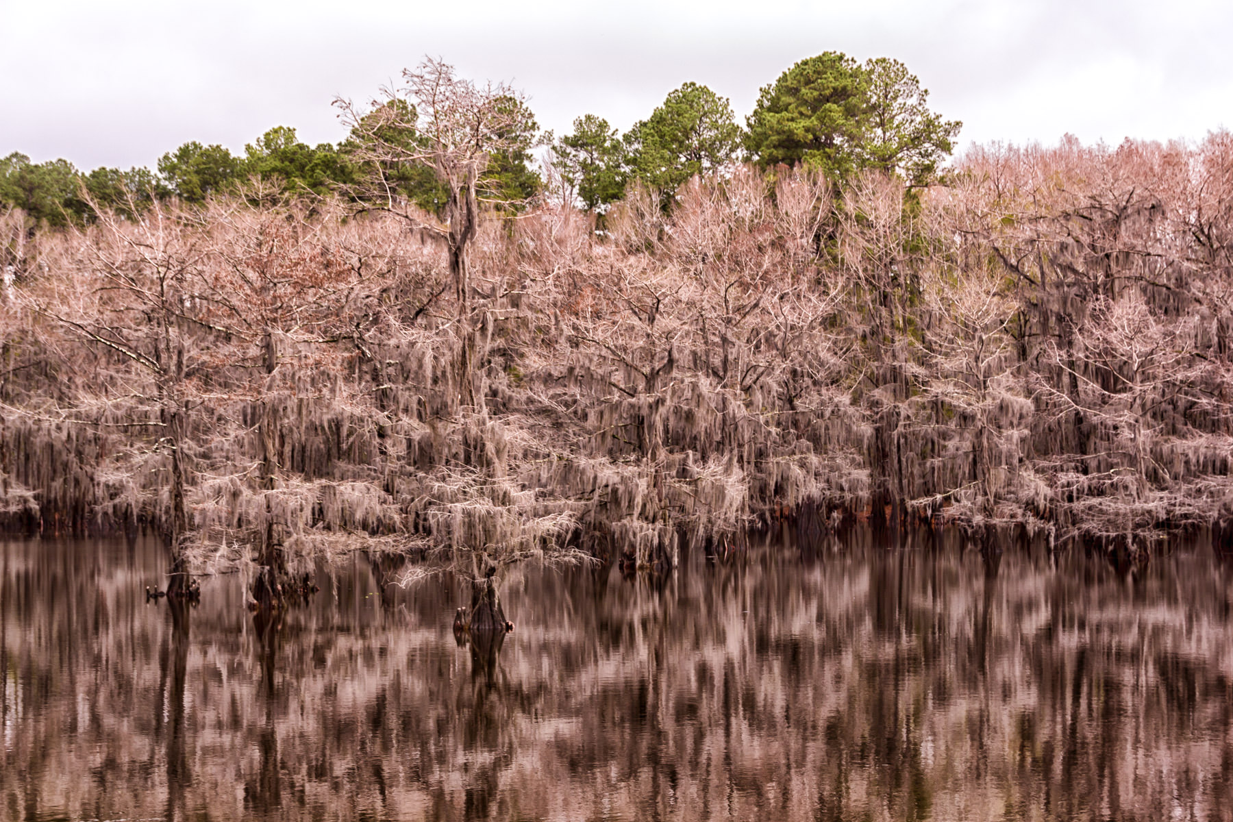 Spanish moss-covered cypress trees at Caddo Lake State Park, Texas.