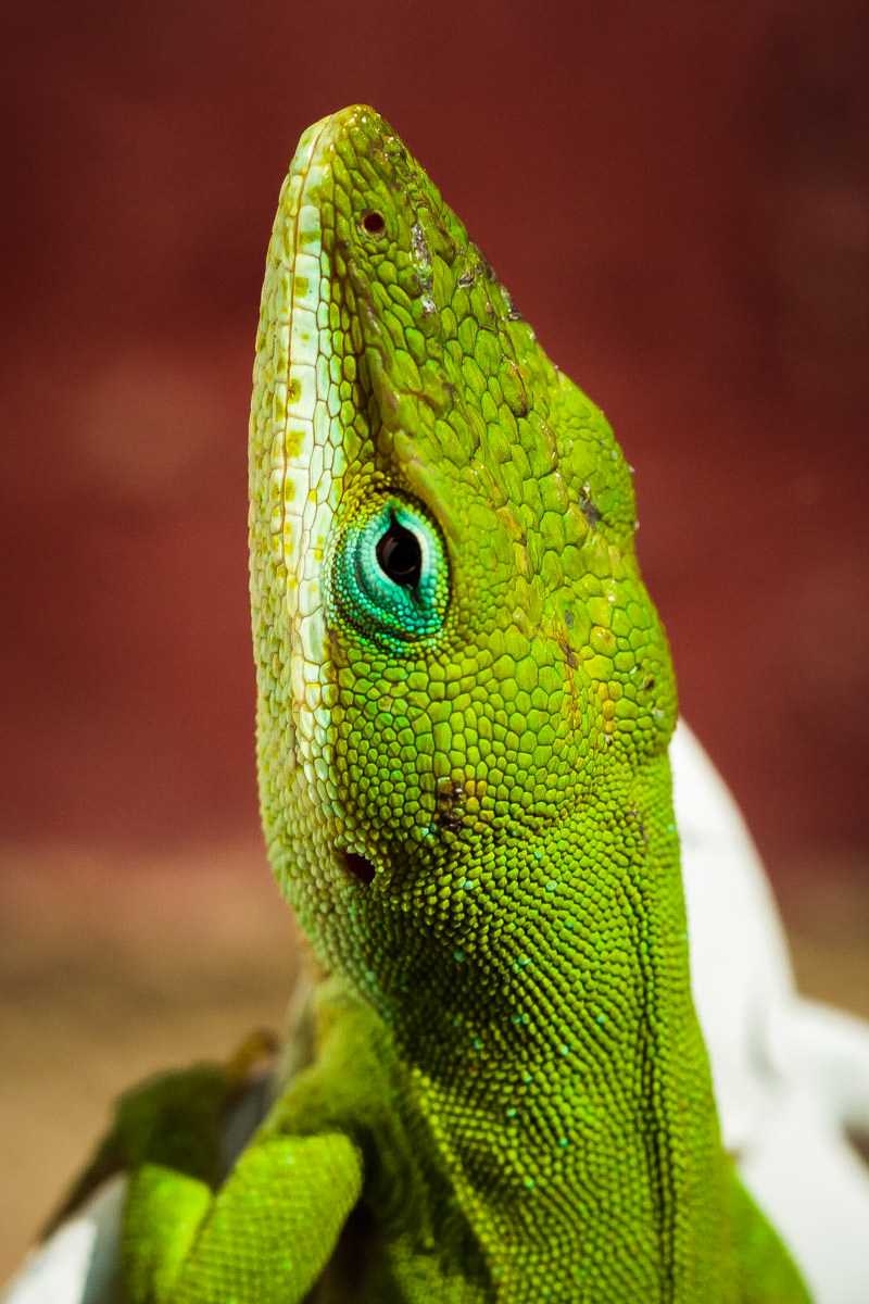 A green anole taking a break from doing lizard stuff in Tyler, Texas.