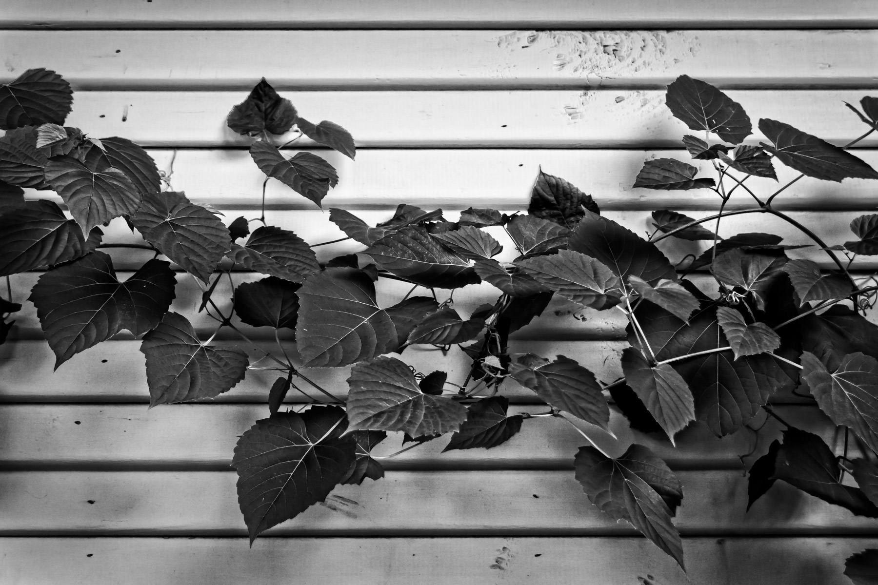Vines growing on the side of a house in McKinney, Texas.