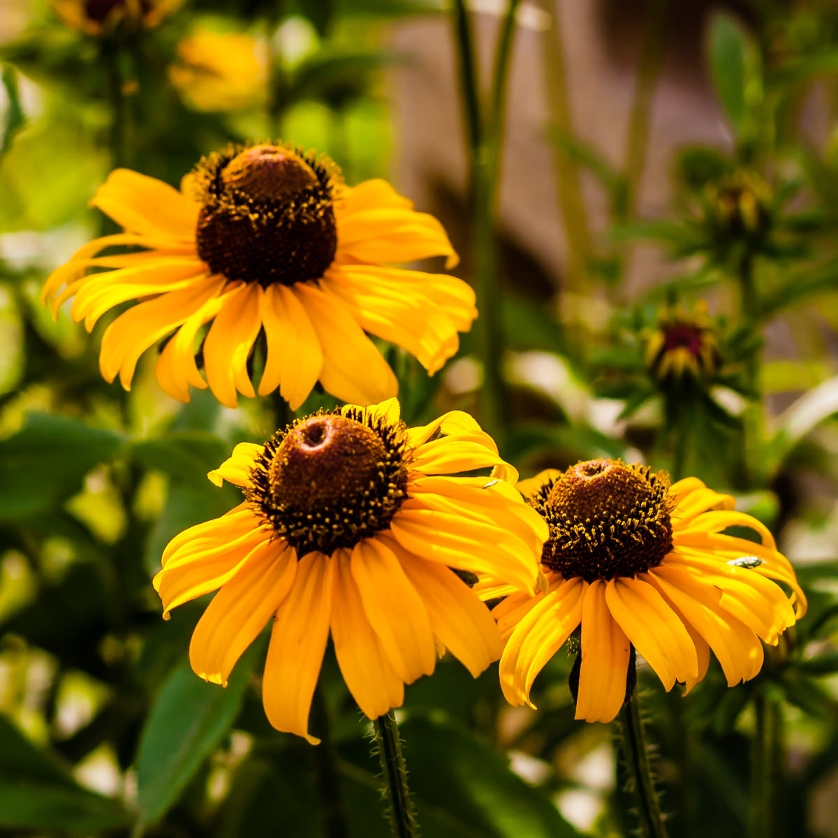 Three black-eyed-susans spotted somewhere in East Texas.
