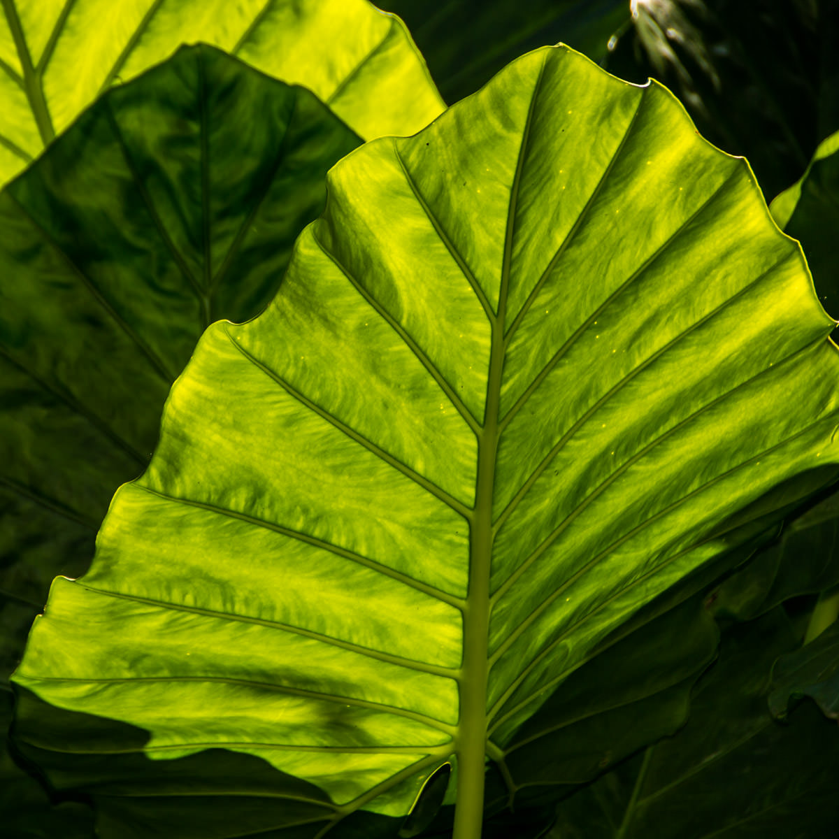 Tropical leaves spotted at the Dallas Arboretum.