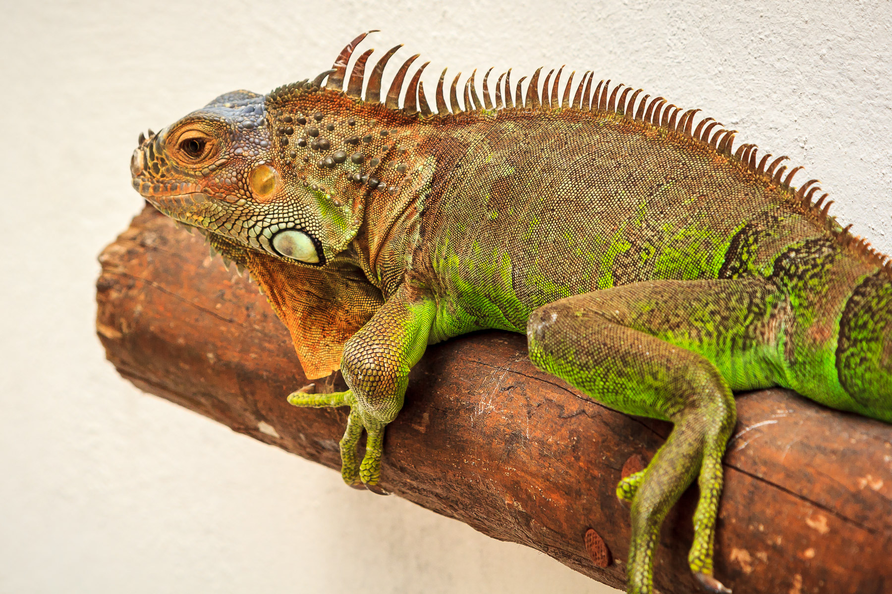 An iguana suns himself in San Miguel, Cozumel, Mexico.