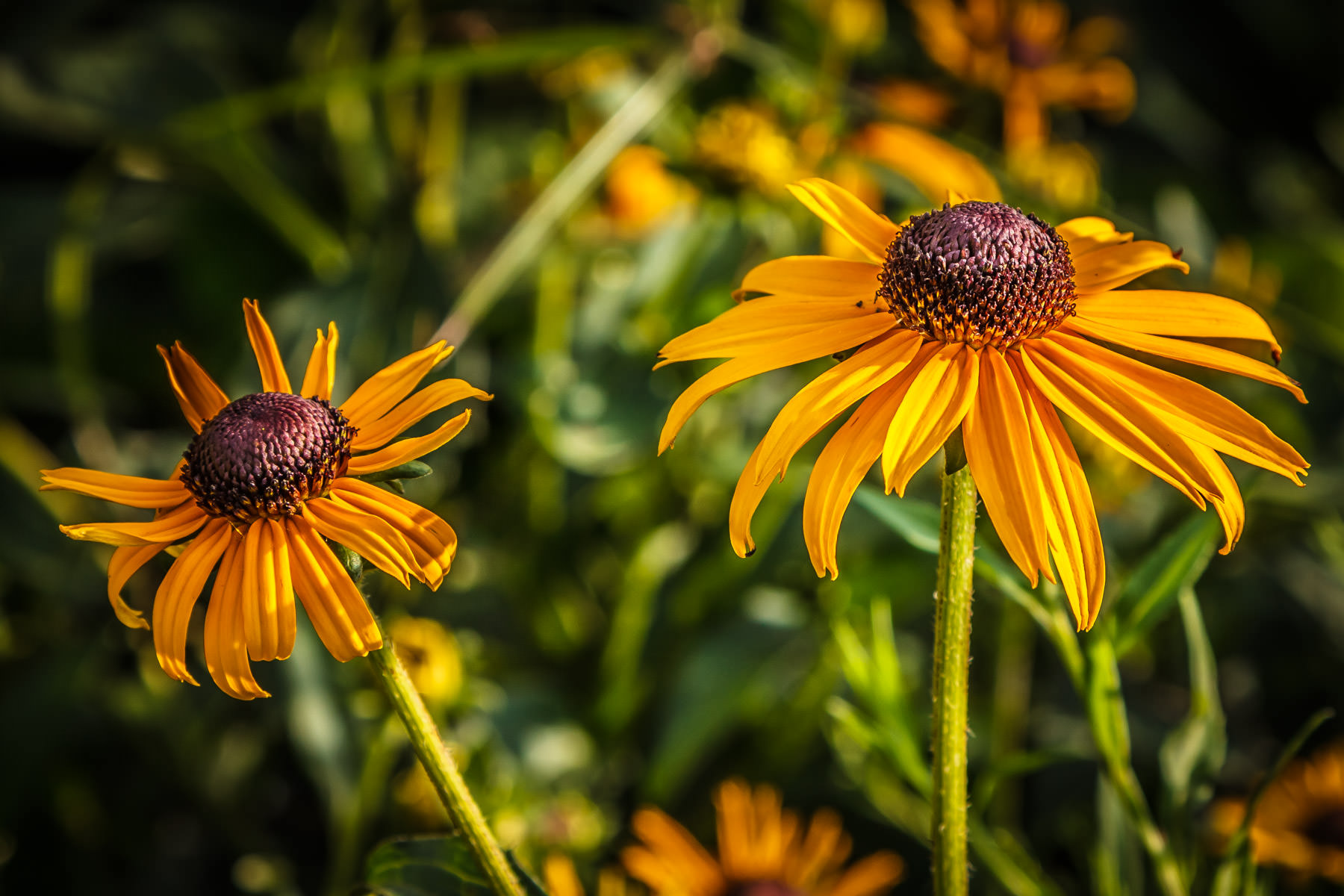 Two yellow daisies, also known as black-eyed susans, found at Dallas' Klyde Warren Park.
