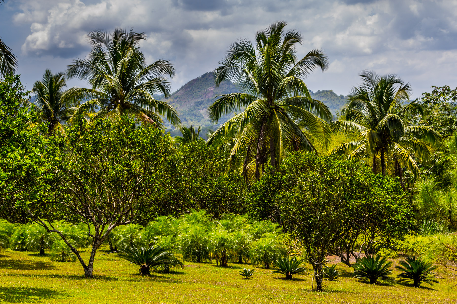 Storm clouds gather over a stand of palm trees on a plantation in the mountains of western Jamaica.
