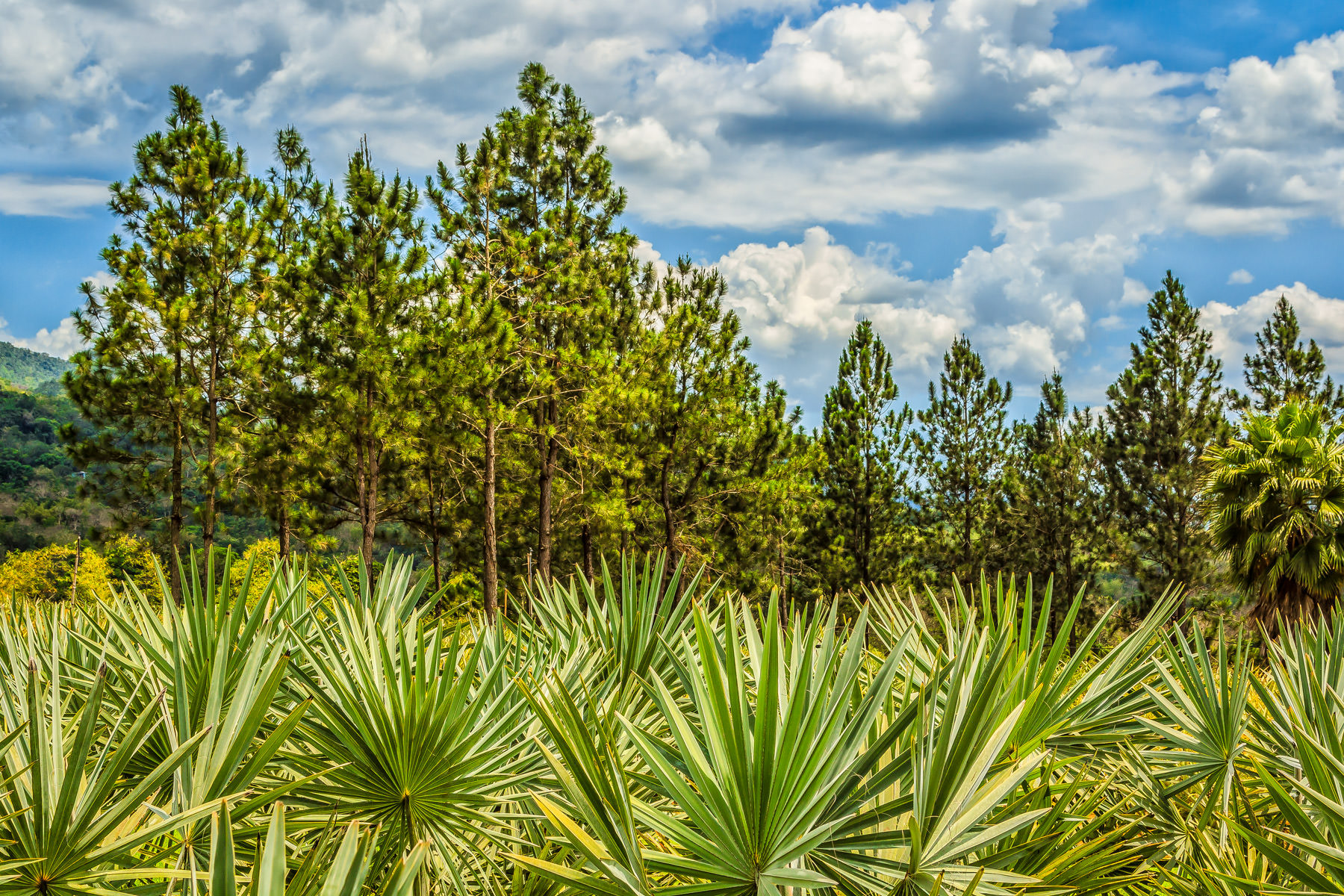 Palm trees and pine trees grow at the Croydon in the Mountains plantation in Jamaica's northwest.