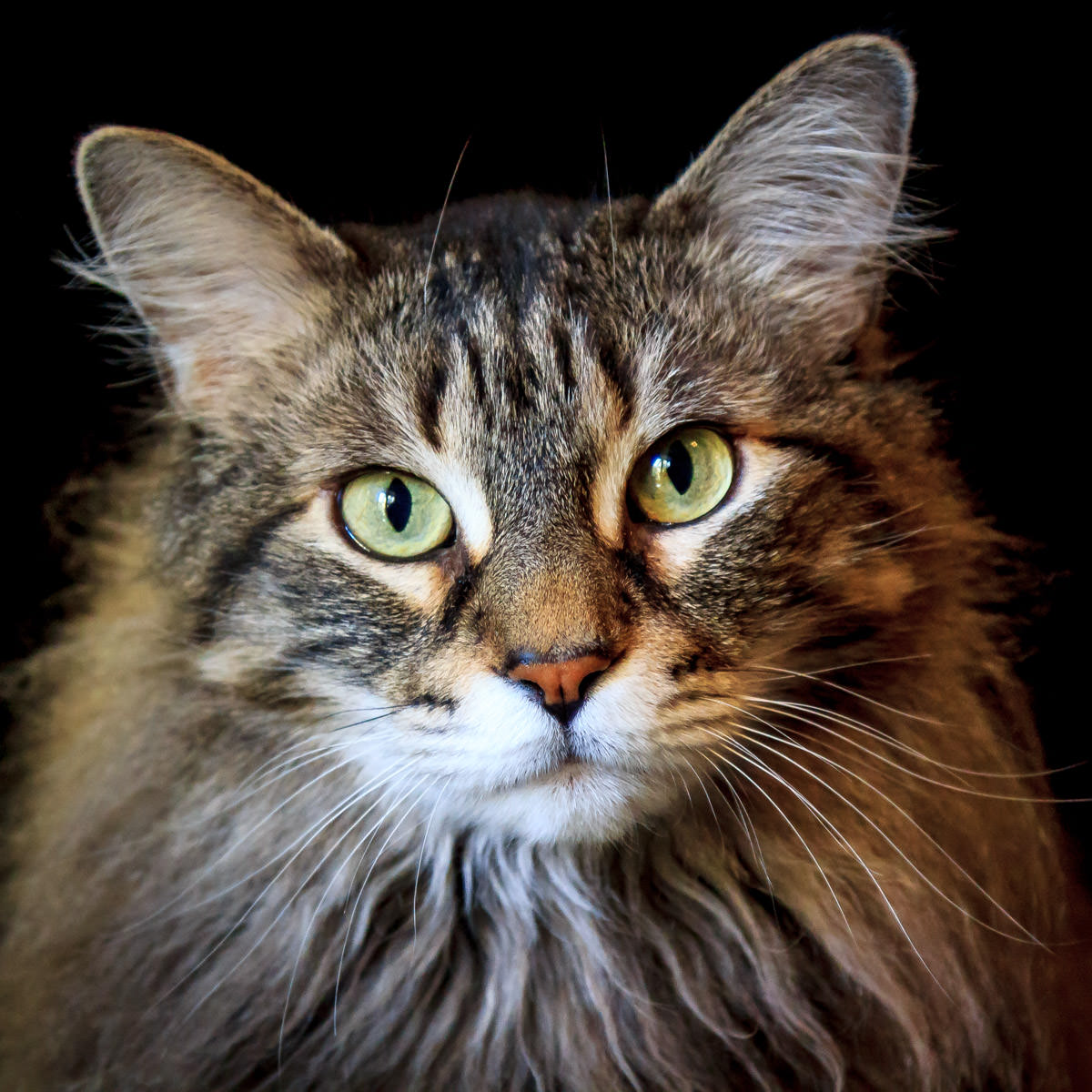 A portrait of one of our Maine Coon cats, Squeaky.