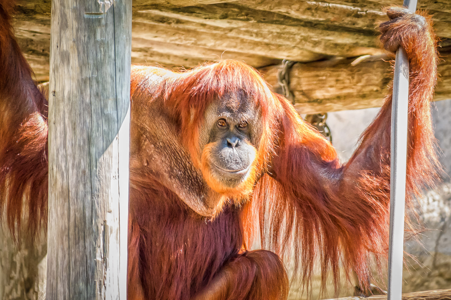 This orangutan at the Fort Worth Zoo seems to have a sly, smirking expression on his face.