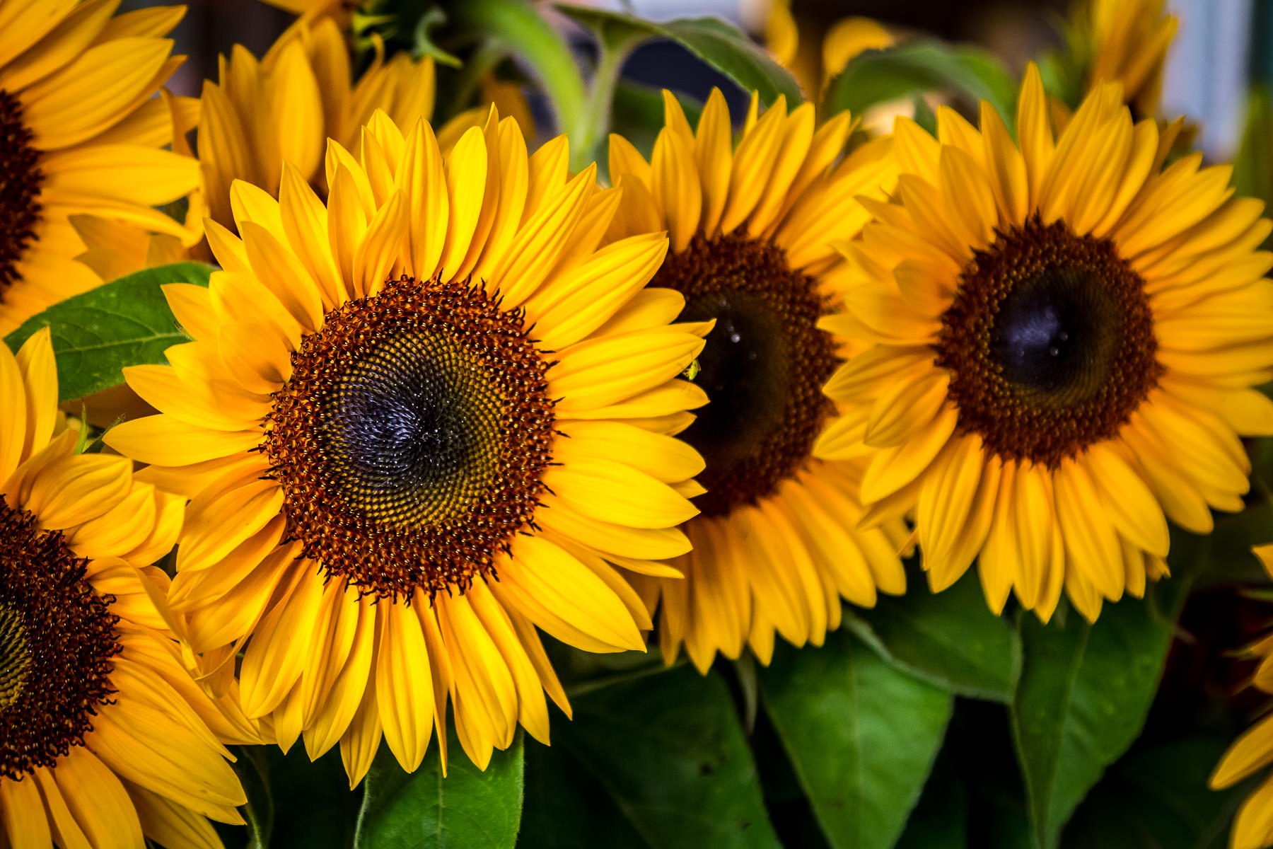 Sunflowers for sale at a florist at Seattle's Pike Place Market.