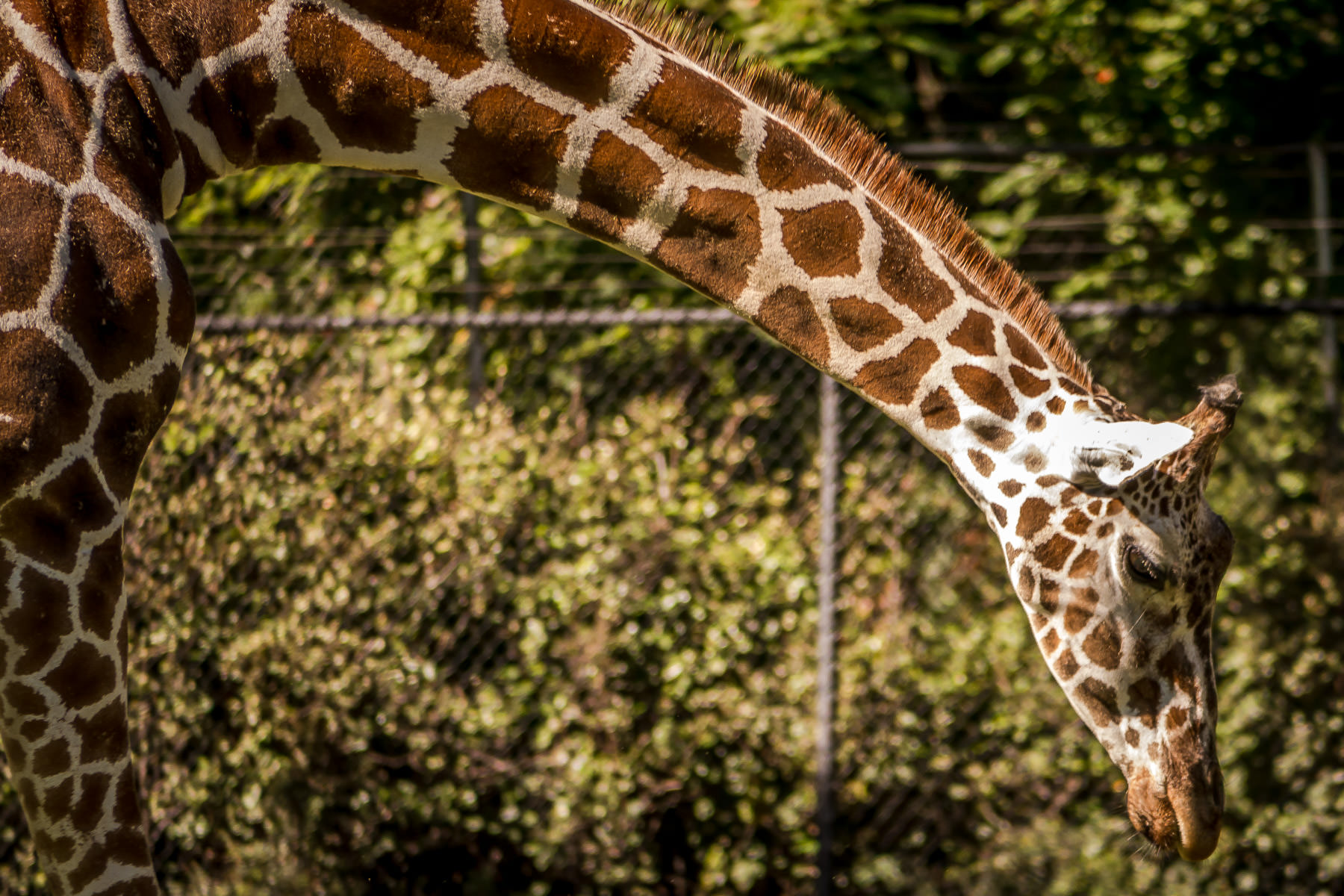 A giraffe arches its long neck at the Fort Worth Zoo.