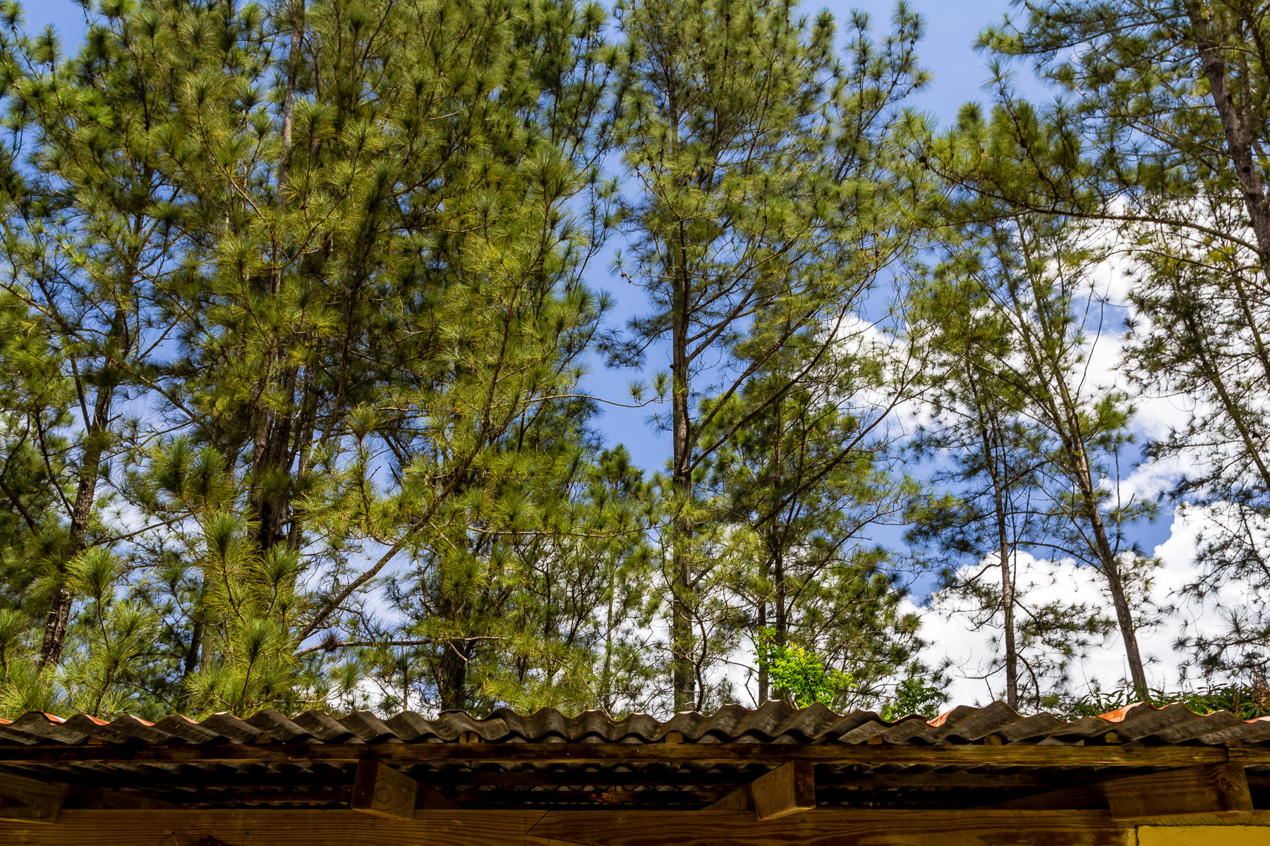 Pine trees rise above the corrugated metal roof of a barn at the Croydon in the Mountains plantation in northwest Jamaica.