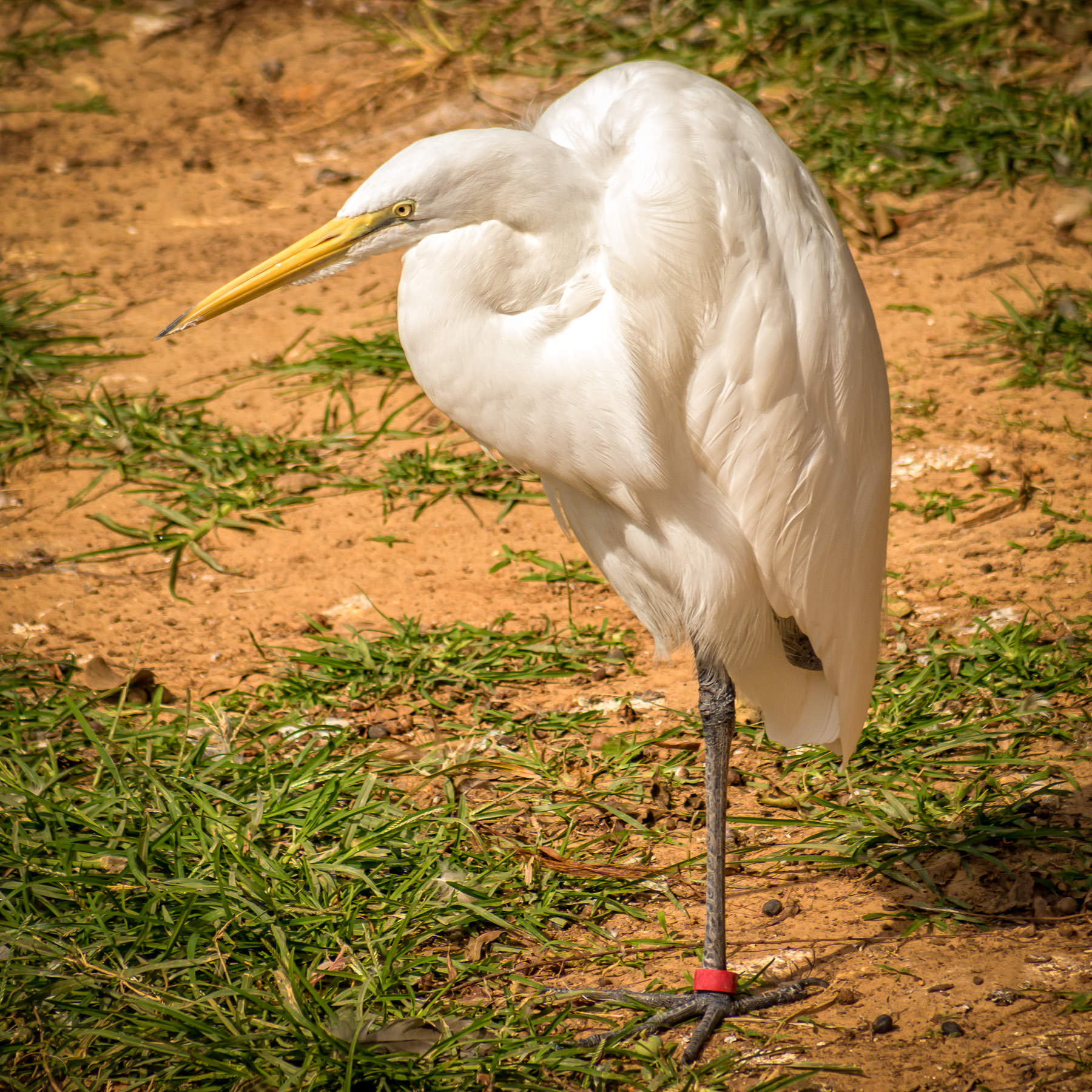 A great egret stands on one leg at Tyler, Texas' Caldwell Zoo.