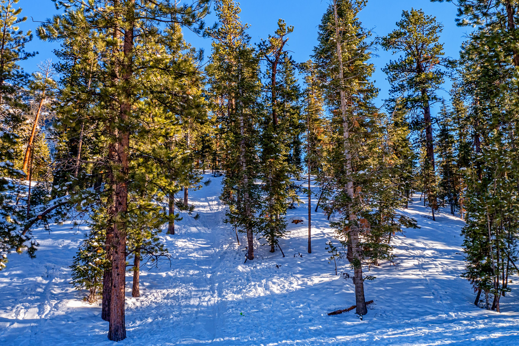 Evergreen trees in the snow at Mount Charleston, Nevada.