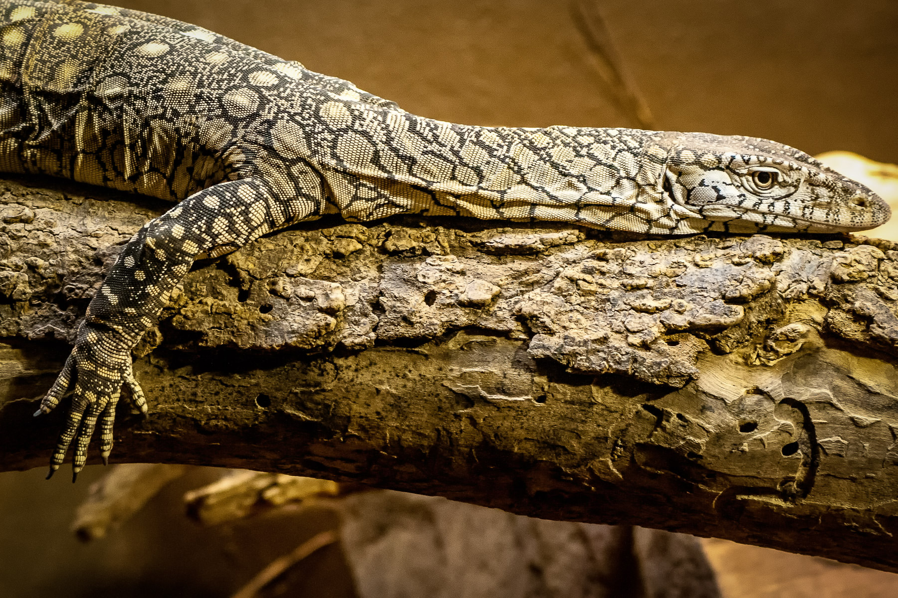 A perentie—the largest lizard native to Australia—lounges on a tree branch at the Dallas Zoo.