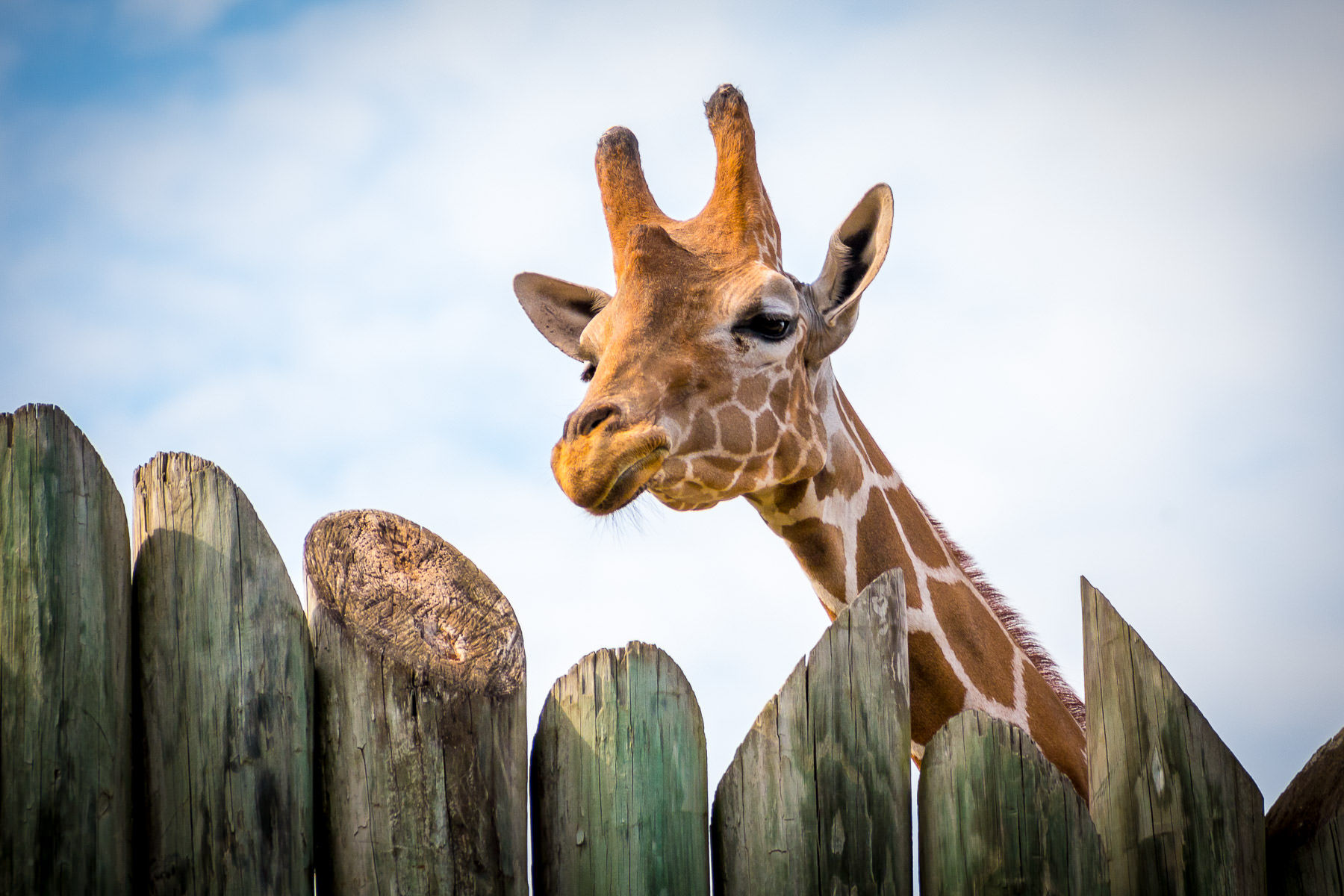 An inquisitive giraffe looks over a fence at Tyler, Texas' Caldwell Zoo.